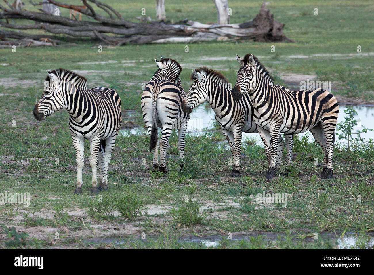 Burchell's Zebra (Equus burchelli). Four animals together. Each with own unique stripe patterned coat. Rump of one showing 'shadow' between stripes, a - Stock Image