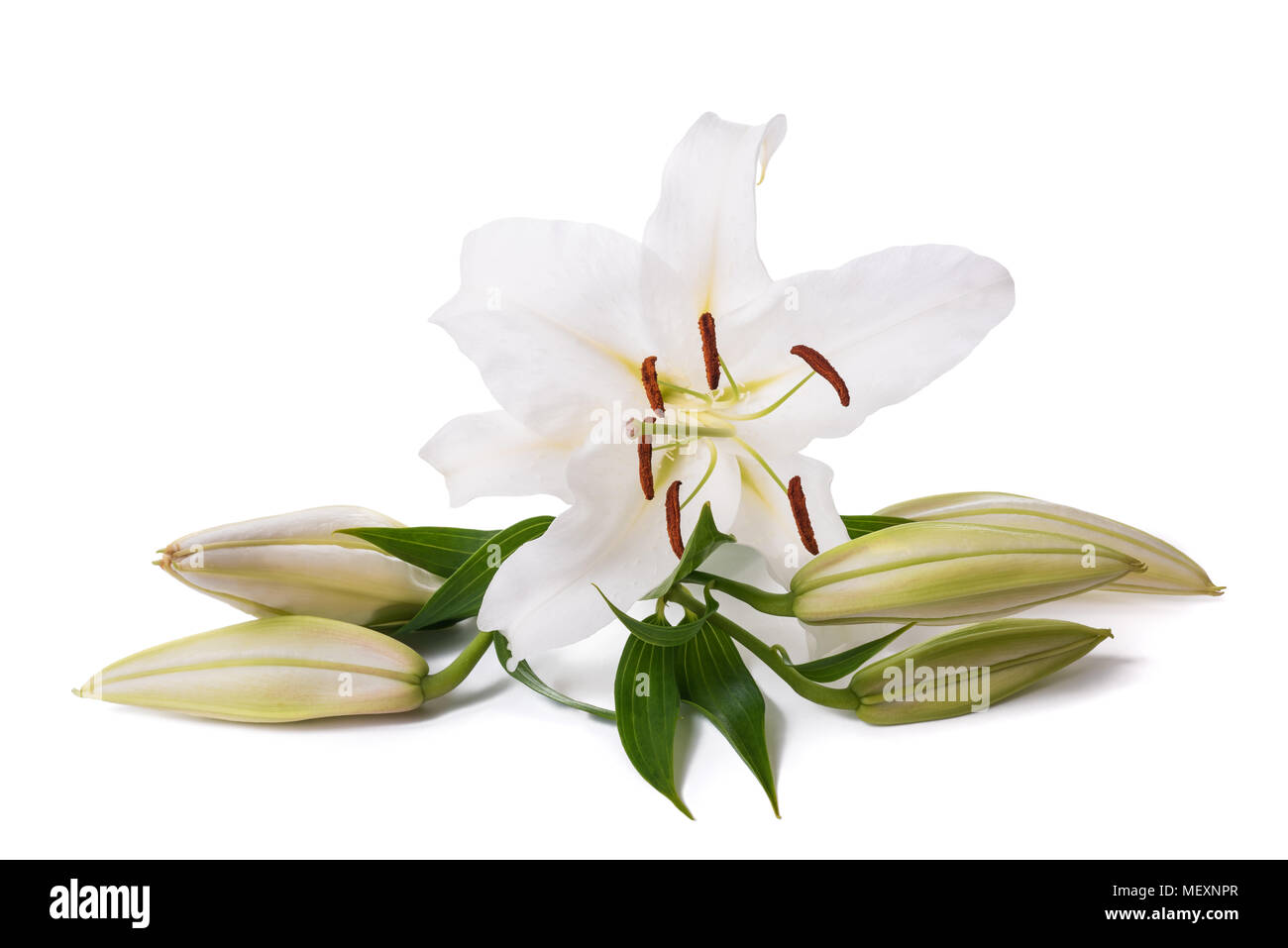 Madonna lily flower stock photos madonna lily flower stock images white lily flower isolated on a white background stock image izmirmasajfo Gallery