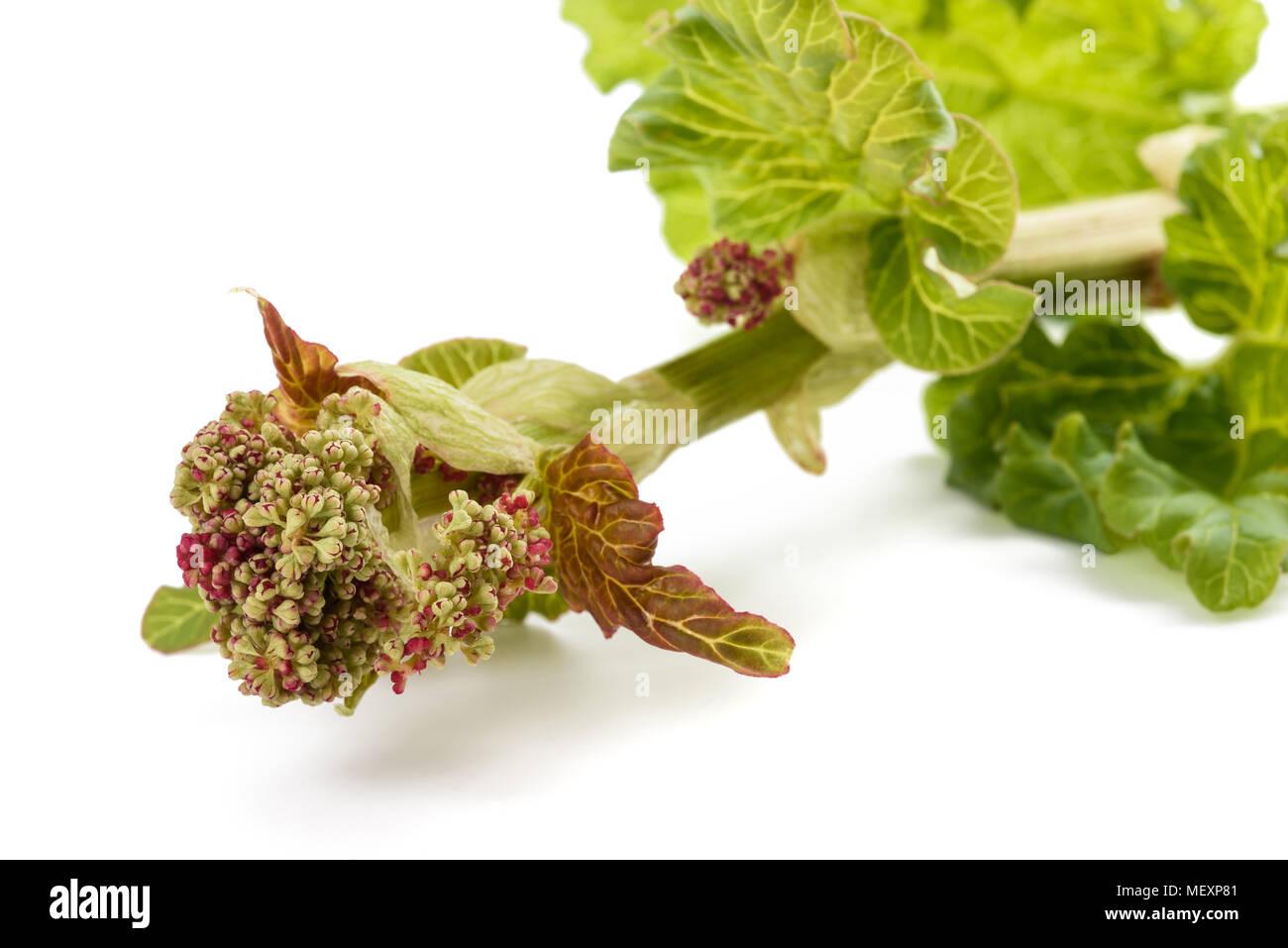 Rhubarb plant (Rheum rhabarbarum) in blossom. flowering Rheum rhabarbarum in a vegetable garden - Stock Image