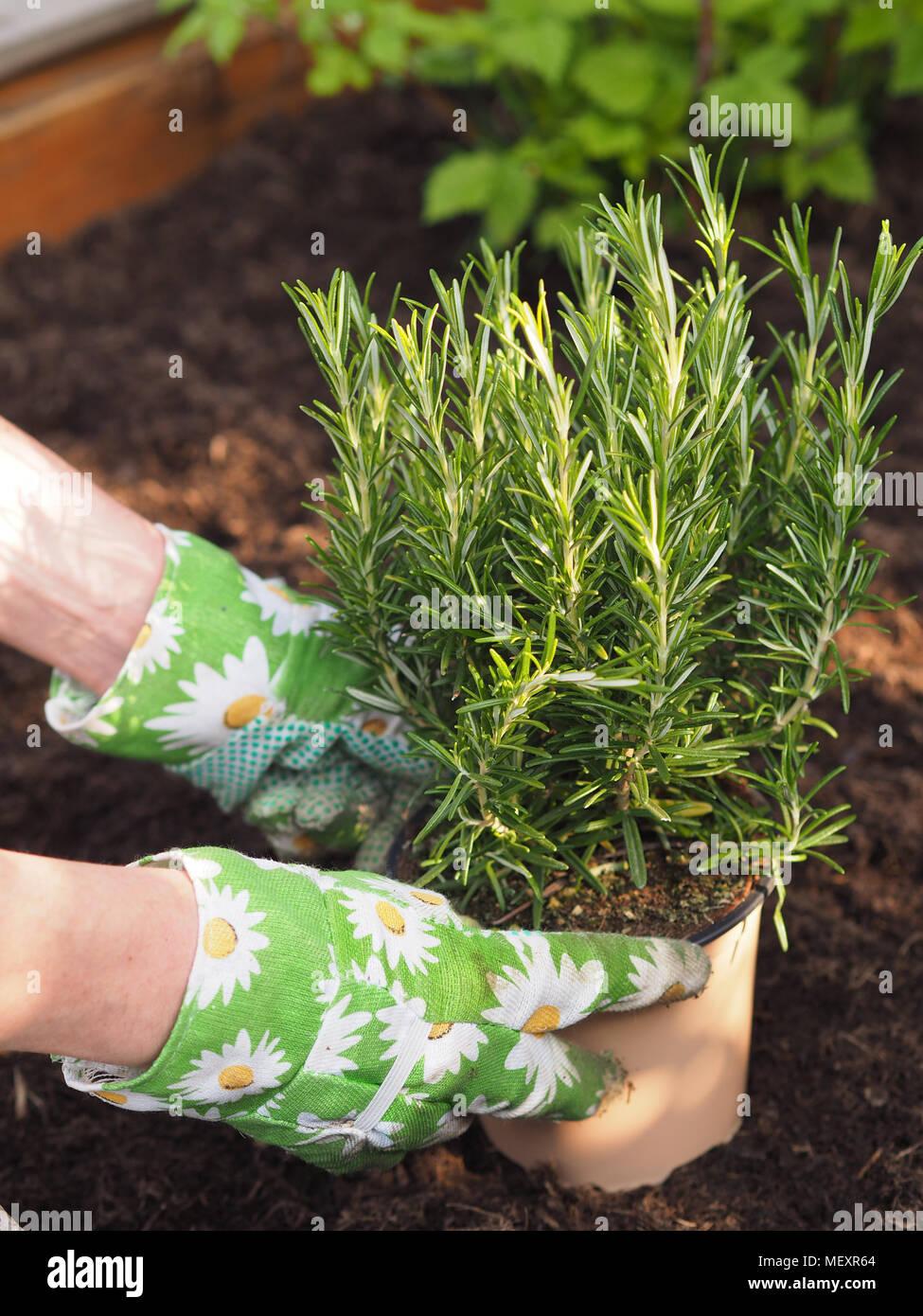 Woman Rosemary Plant Pot Stock Photos & Woman Rosemary Plant
