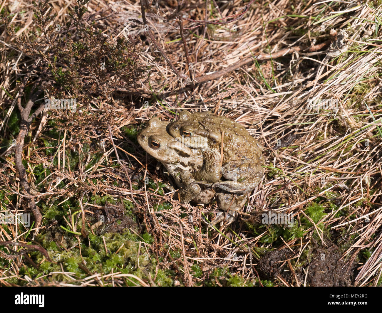 Common toads (Bufo bufo) in amplexus, spotted on Cadair Berwyn in the Welsh Berwyn mountains - Stock Image