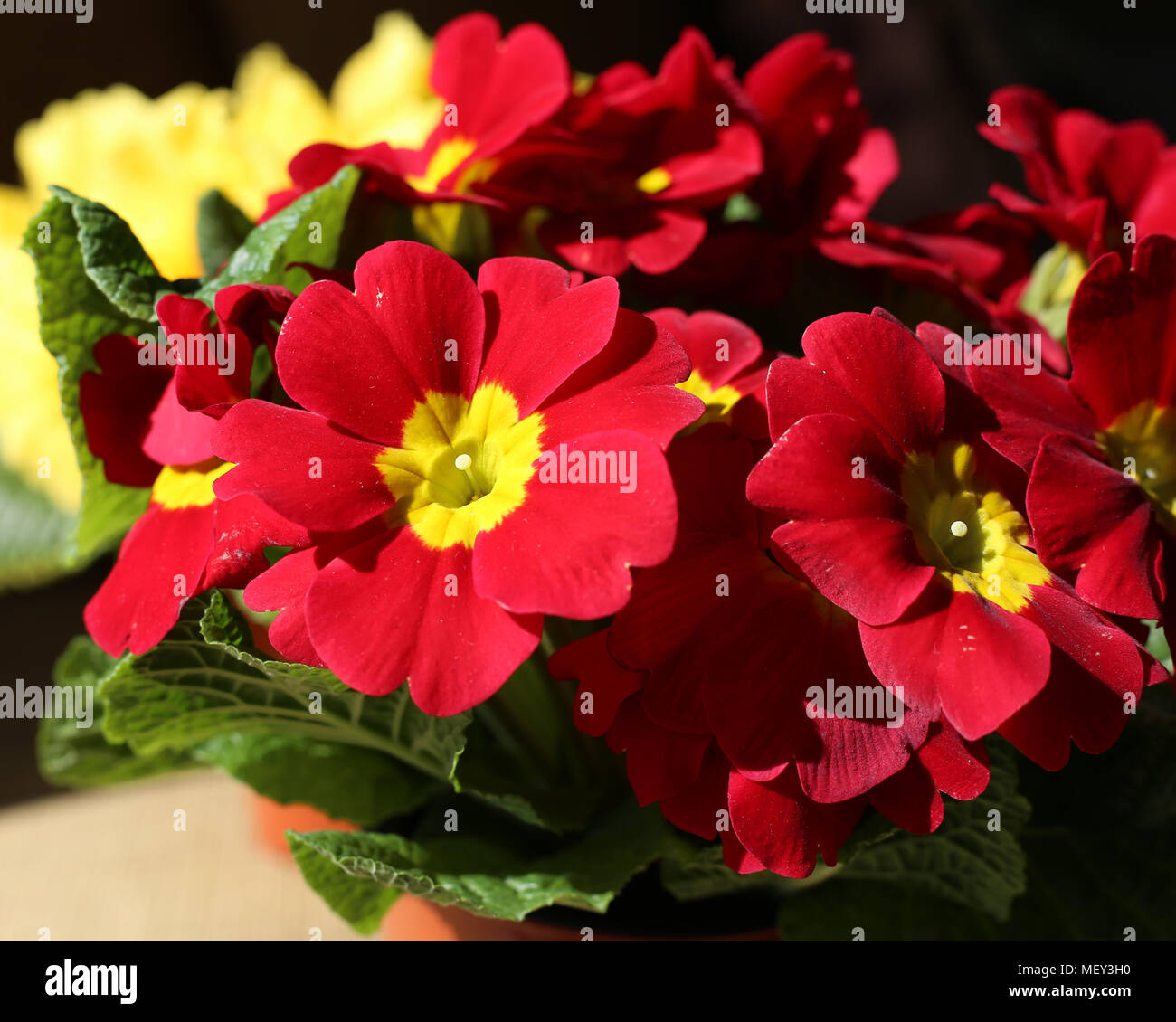 Beautiful red and yellow flowers photographed under natural light ...