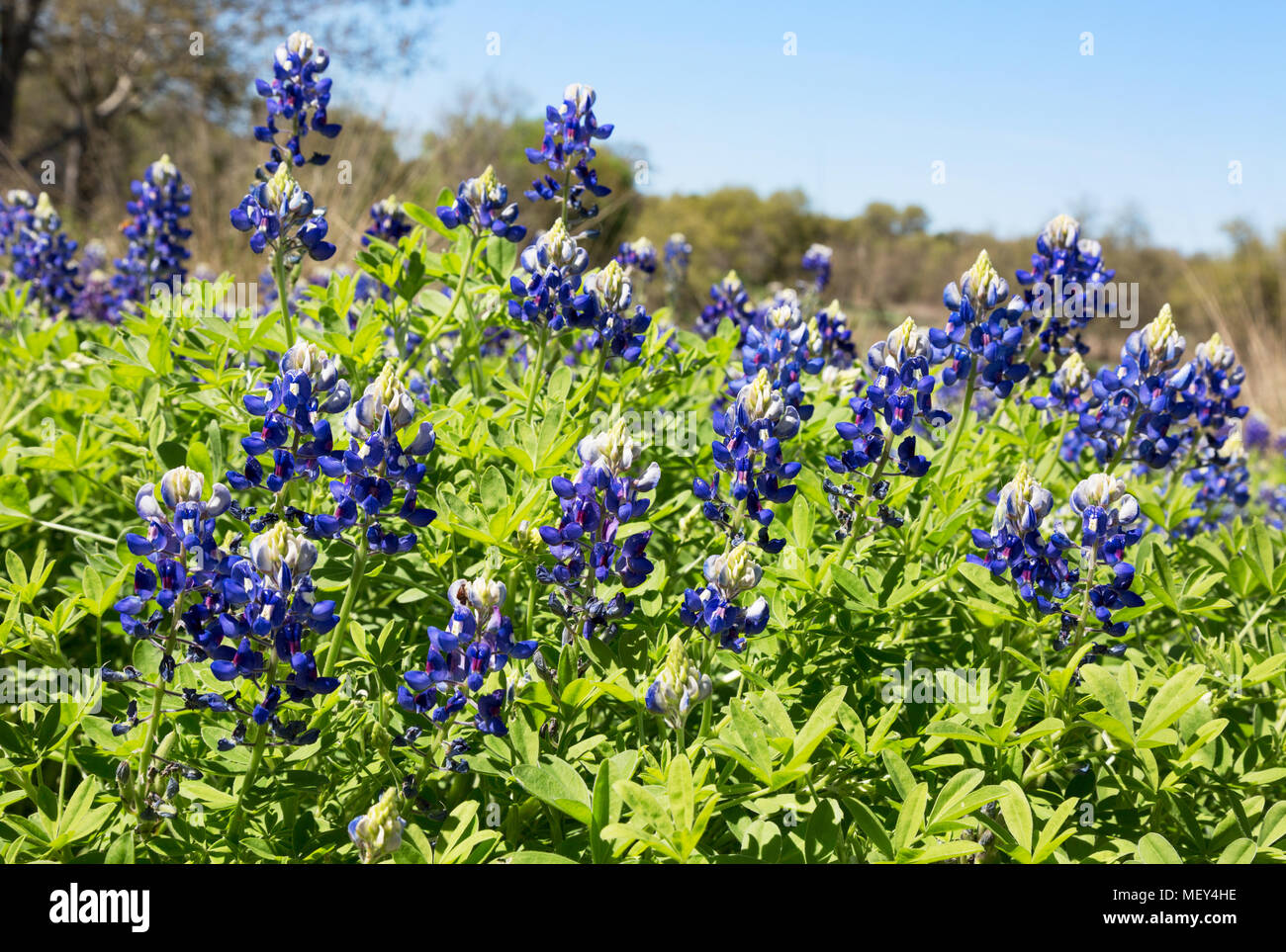 Bluebonnets Lupinus Texensis Flowers Growing Wild The