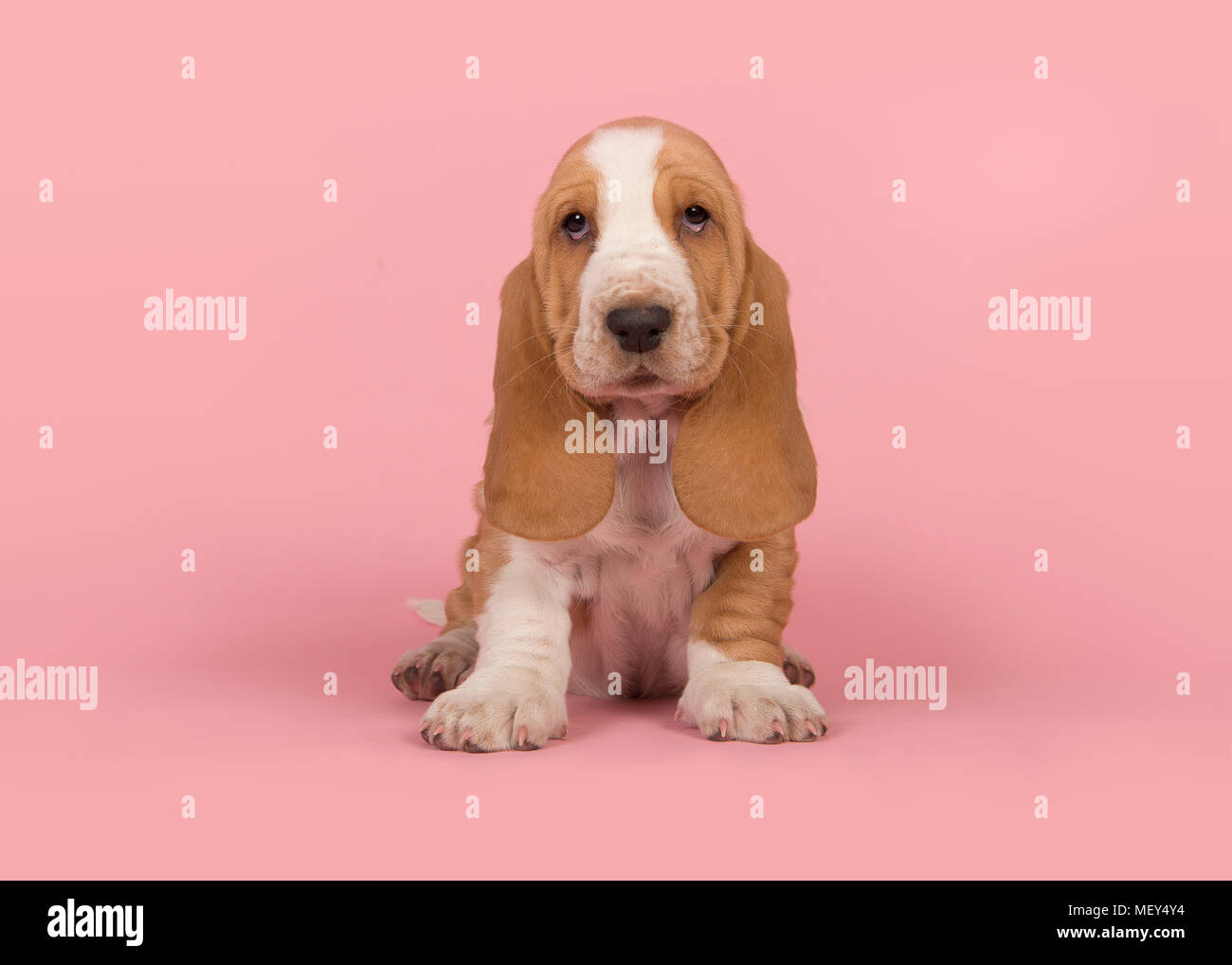 cute tan and white basset hound puppy sitting on a pink background