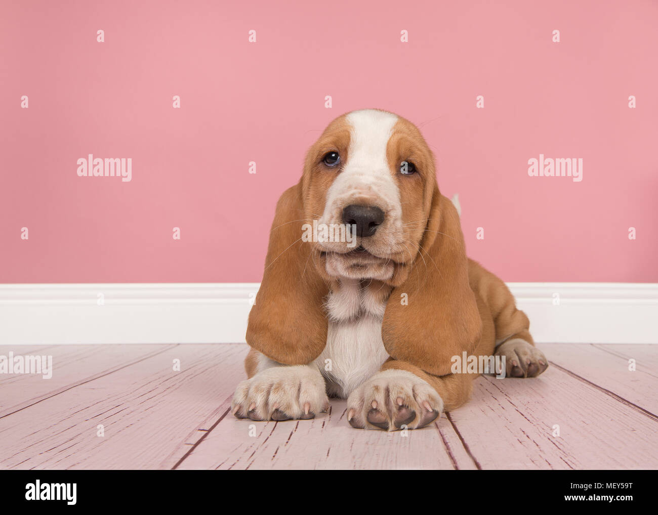 cute tan and white basset hound puppy lying down seen from the front