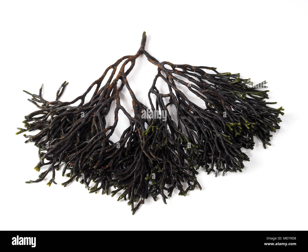 Codium – Velvet horn – Spongeweed.  Edible green seaweed in the family Codiaceae. Binomial name: Codium tomentosum. There are about 50 species worldwi - Stock Image