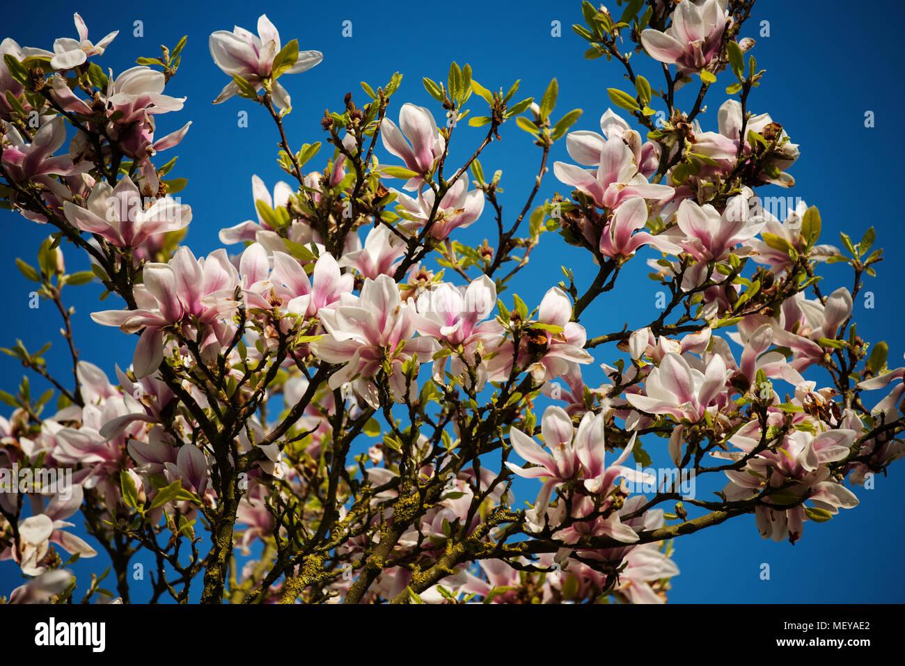 Magnolia Tree, Margaret Street Gardens Thaxted Essex England UK. April 2018 Stock Photo