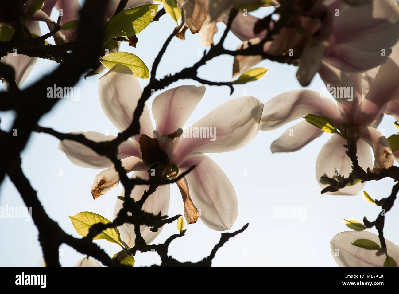Magnolia Tree, Margaret Street Gardens Thaxted Essex England UK. April 2018 Stock Photo