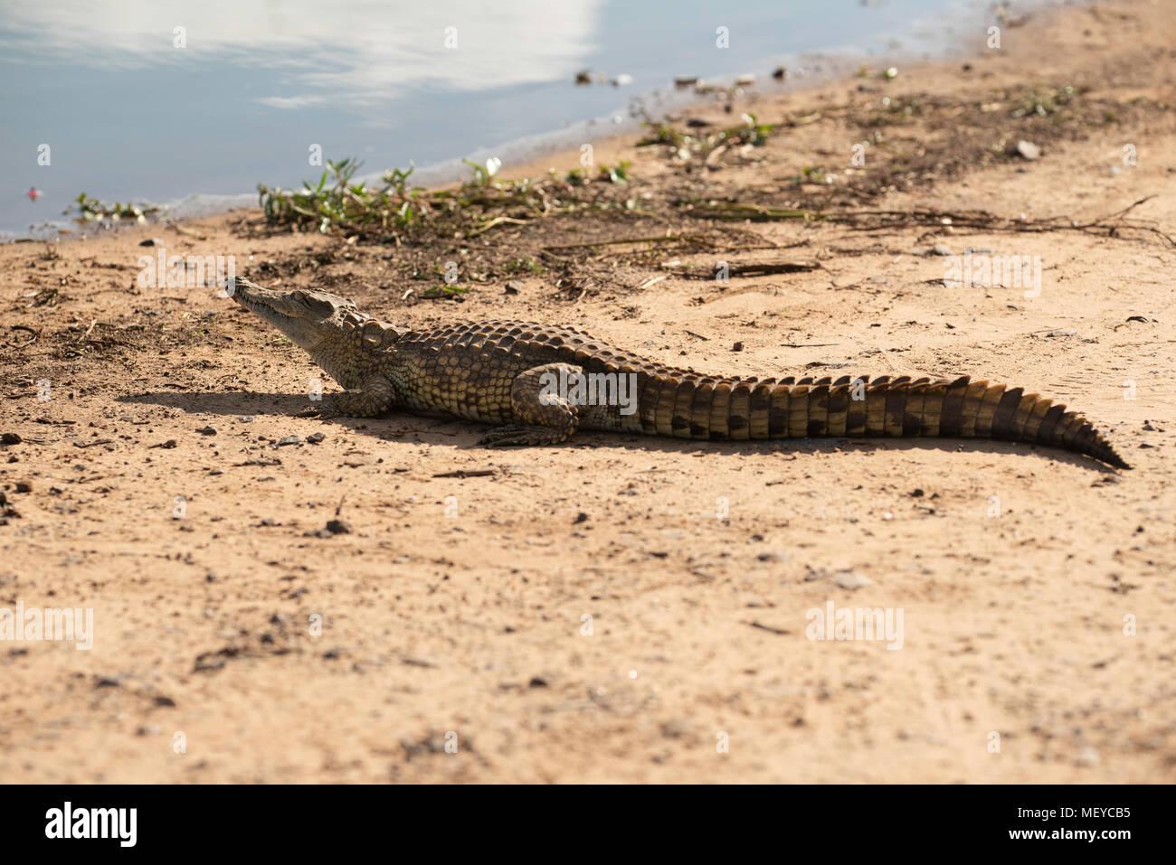 Nile crocodile basking in the sun - Stock Image