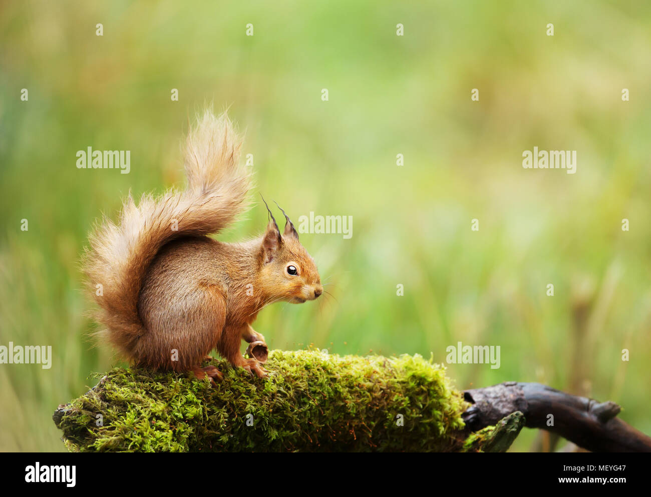 Red squirrel (Sciurus Vulgaris) sitting on a mossy log, England, UK. - Stock Image