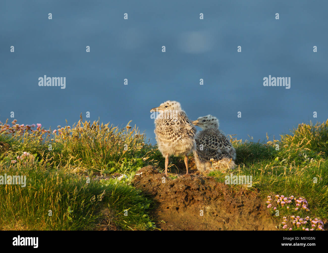 Two European herring gull chicks standing by the nest in grass on a sunny summer day, Scotland, UK. Stock Photo