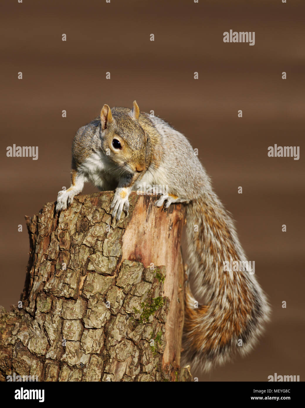 Close up of an Eastern grey squirrel sitting on the tree log, UK. - Stock Image