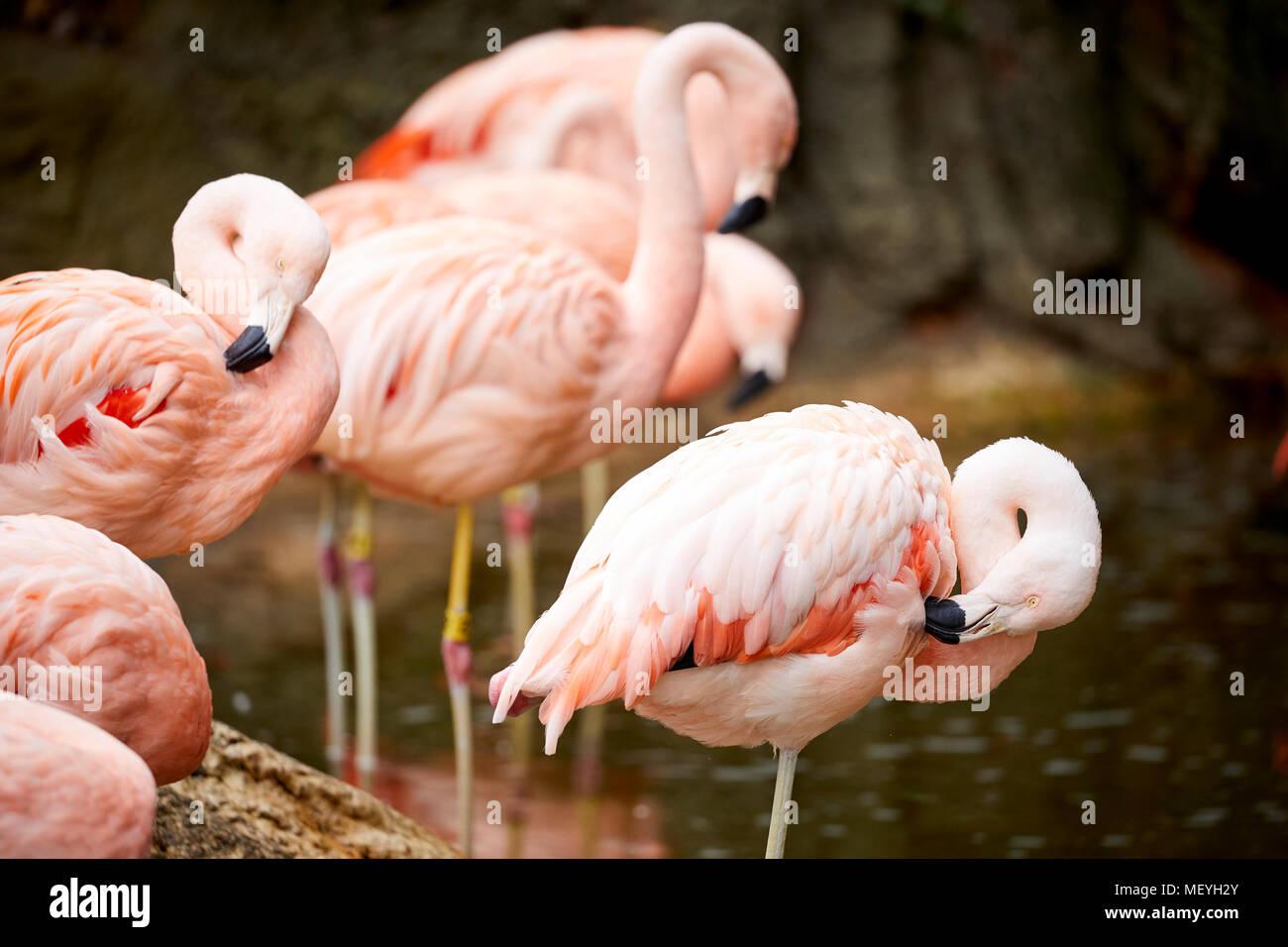 Atlanta capital of the U.S. state of Georgia,  Atlanta Zoo zoological park Flamingos or flamingos in water - Stock Image