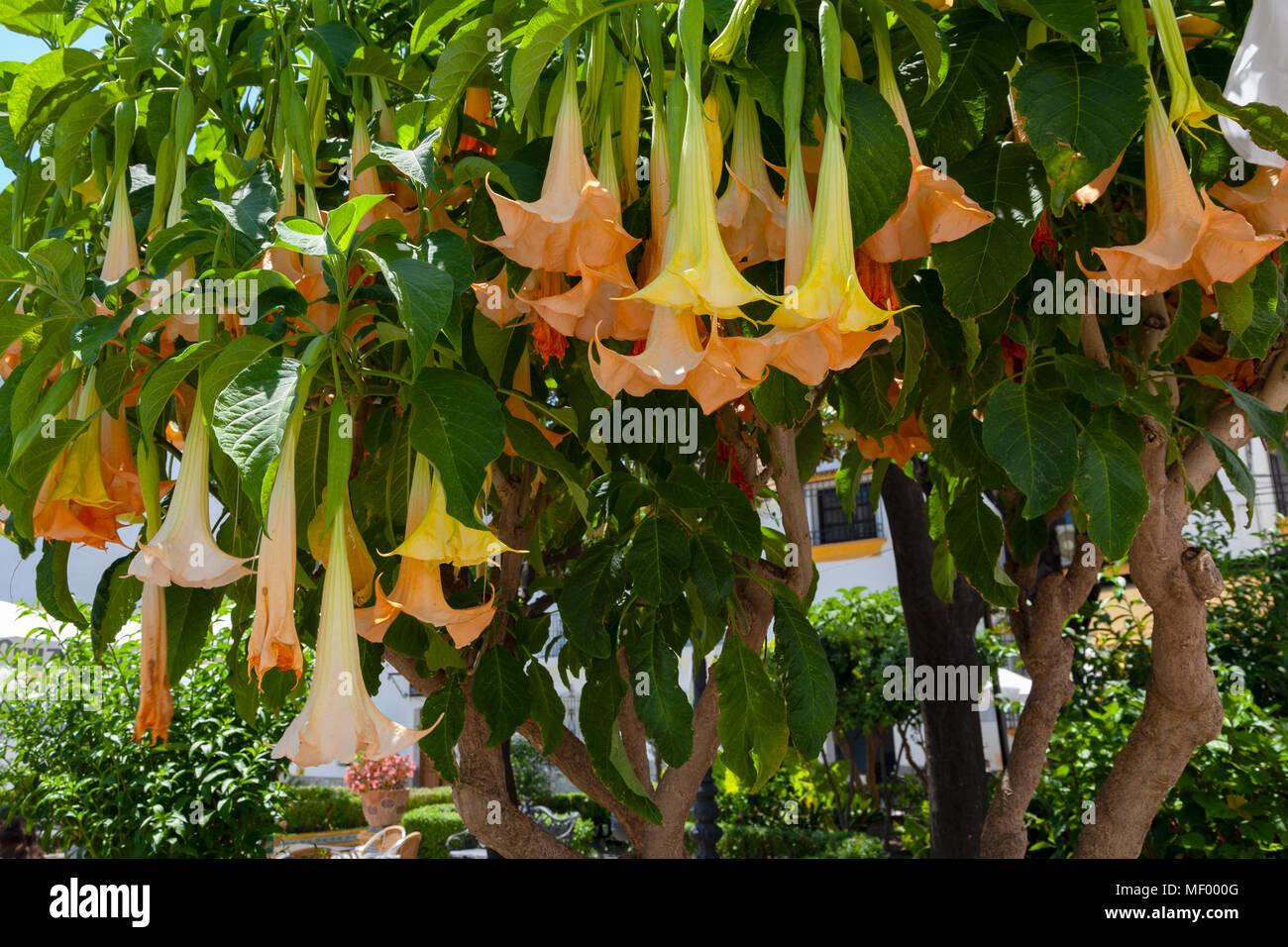Brugmansia Tree -  Datura Stramonium plant, which contains scopolamine, - Stock Image