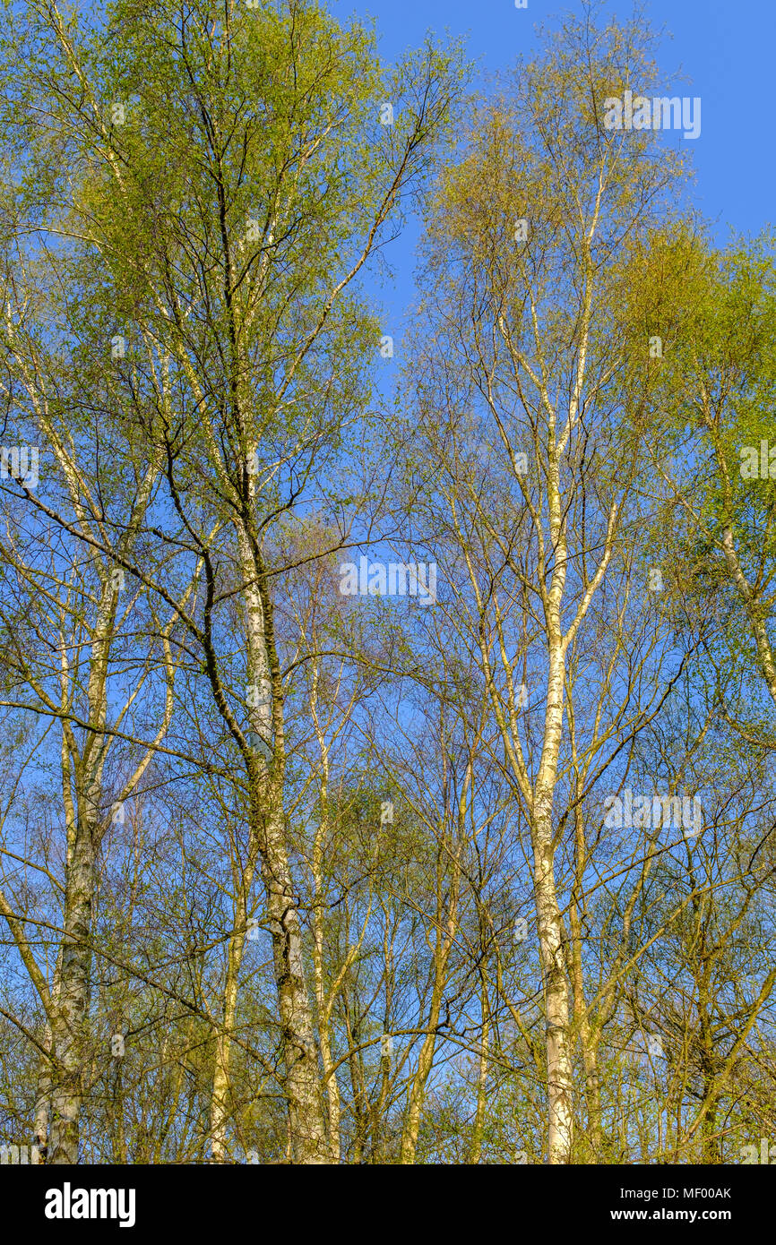 silver birch trees in the sunshine on a spring day with blue sky Stock Photo