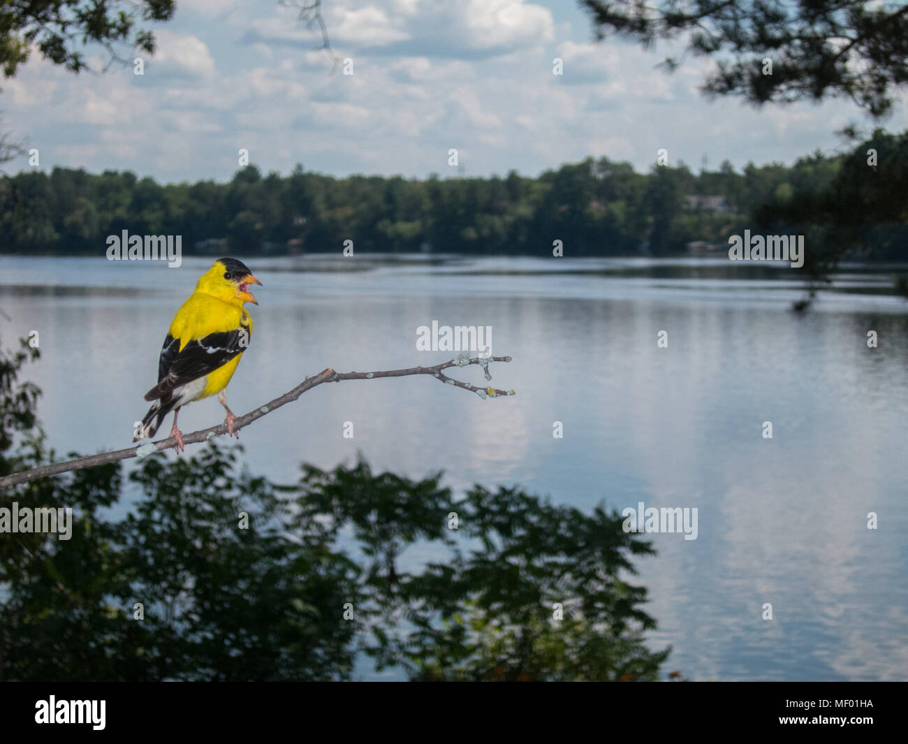 American goldfinch chirping loudly by a lake - Stock Image