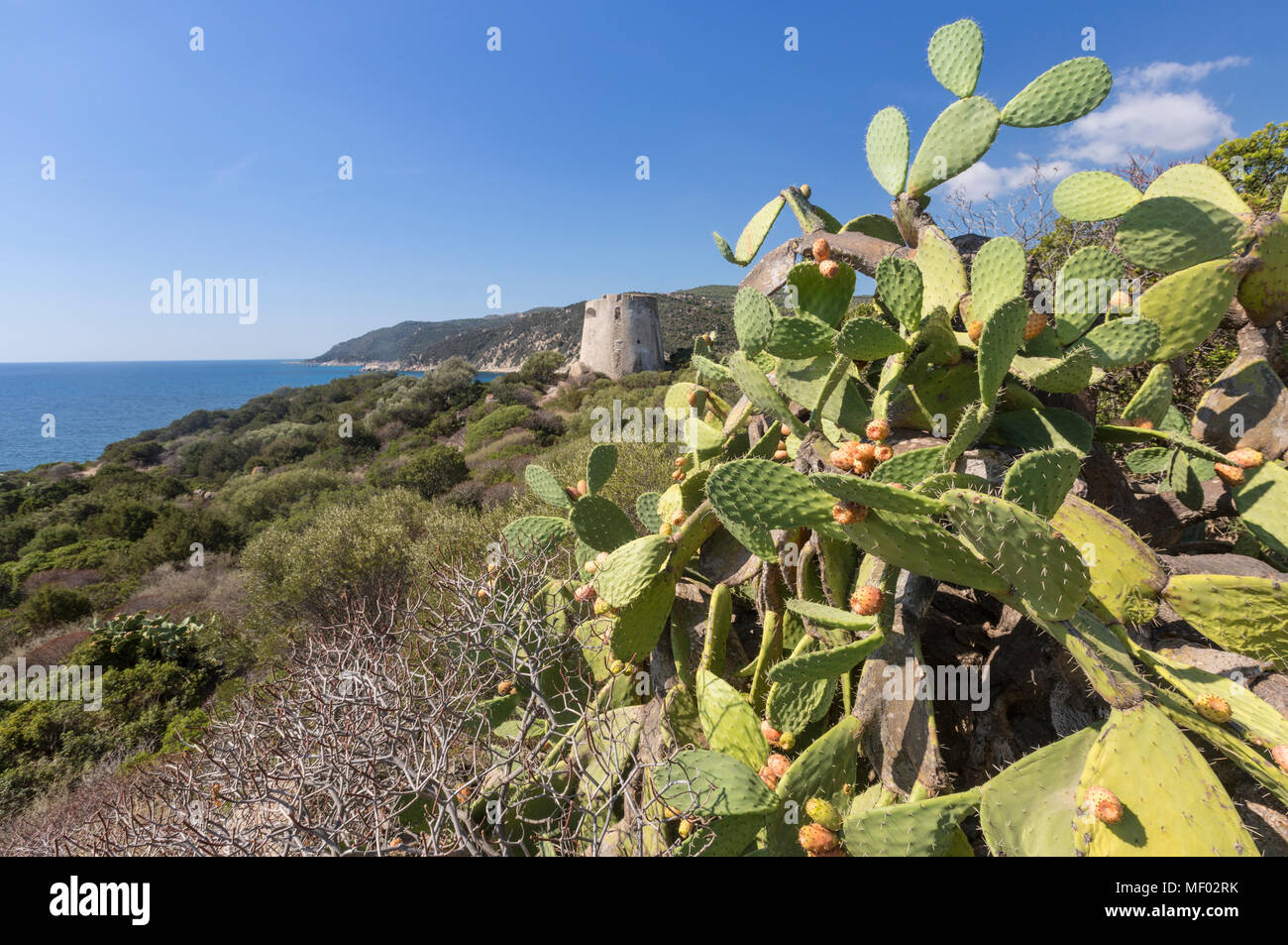 Prickly pears of the inland frame the tower overlooking the turquoise sea Cala Pira Castiadas Cagliari Sardinia Italy Europe - Stock Image