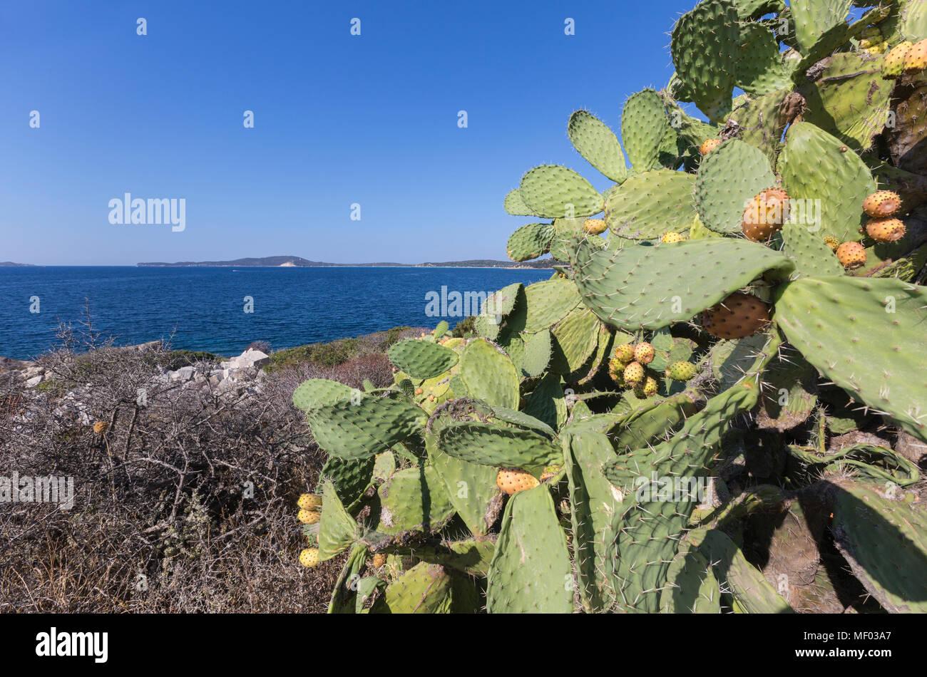 Prickly pears of the inland frame the blue sea Punta Molentis Villasimius Cagliari Sardinia Italy Europe - Stock Image