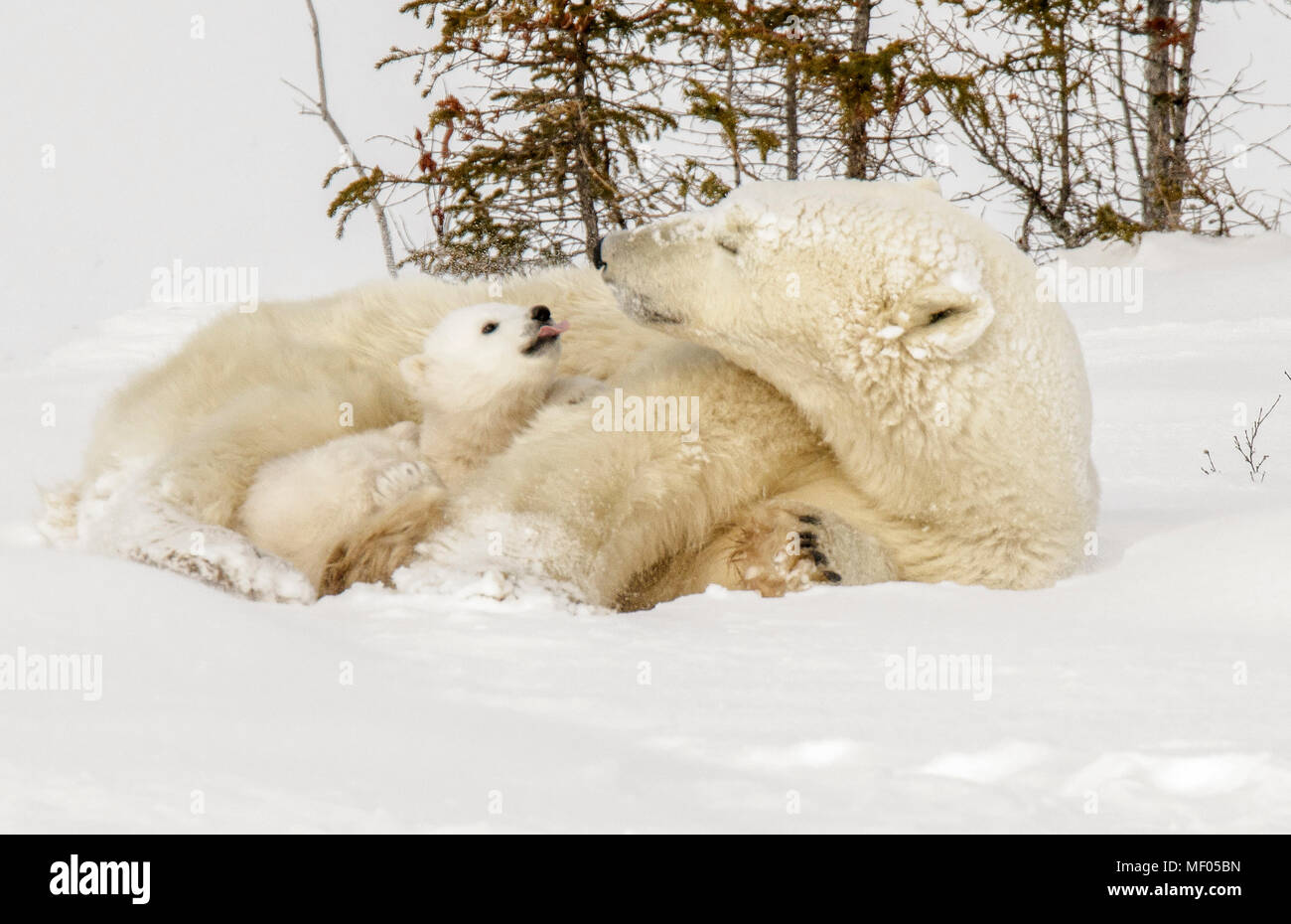 Polar bear mom and one of her cubs share a sweet moment as they wake up from a nap. - Stock Image