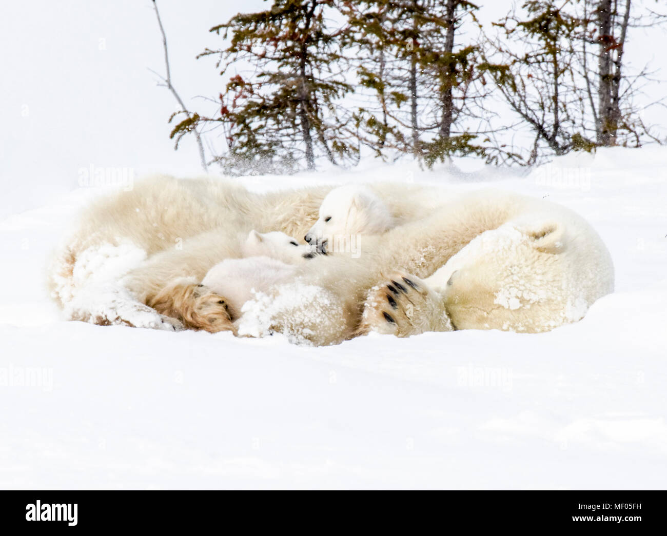 Mother tries to get some rest as her two cubs start to get active.  She is a source of food, a bed and a playpen. - Stock Image
