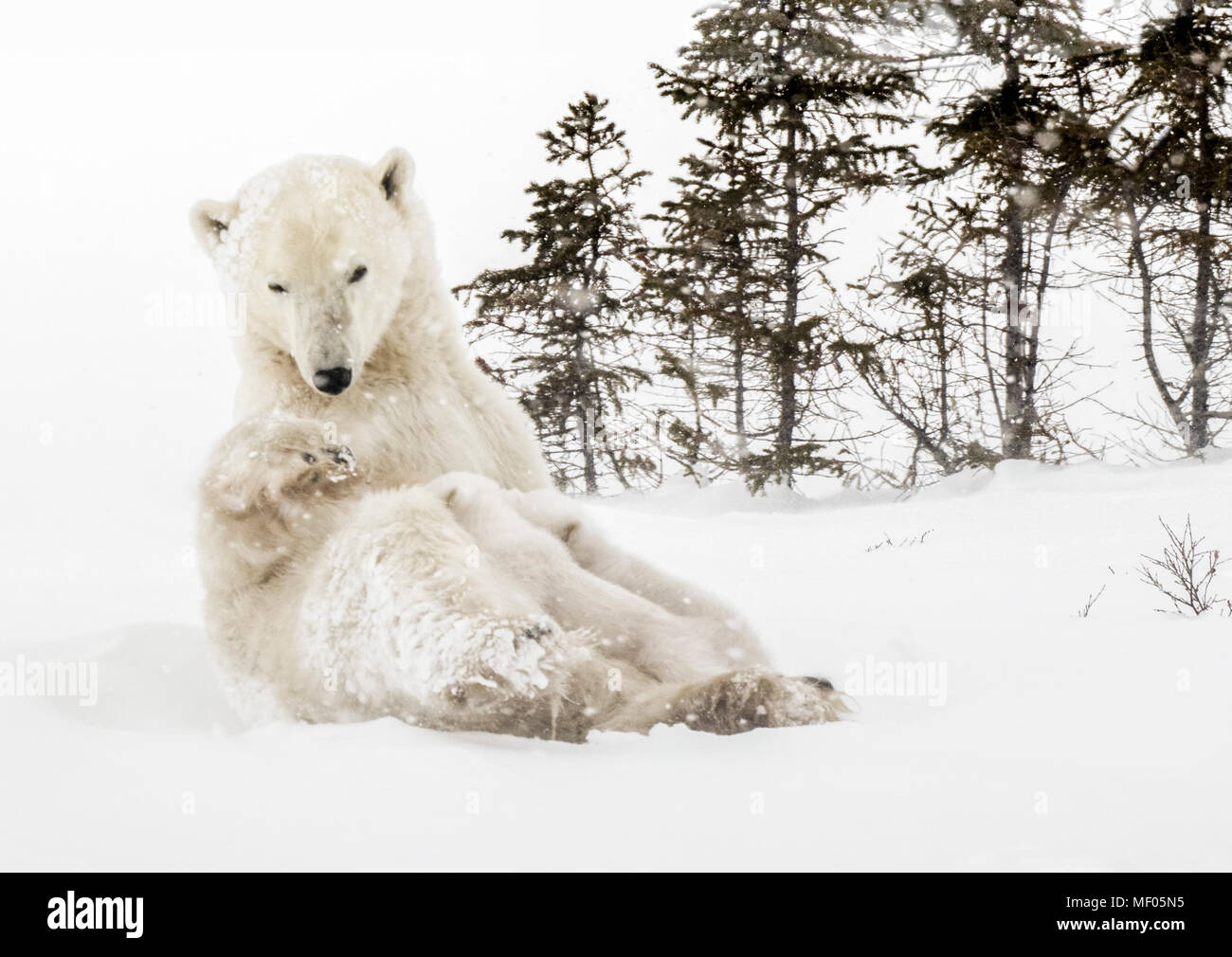 Polar bear mother nursing her cubs near the denning area of Wapusk National Park, Manitoba, Canada. - Stock Image
