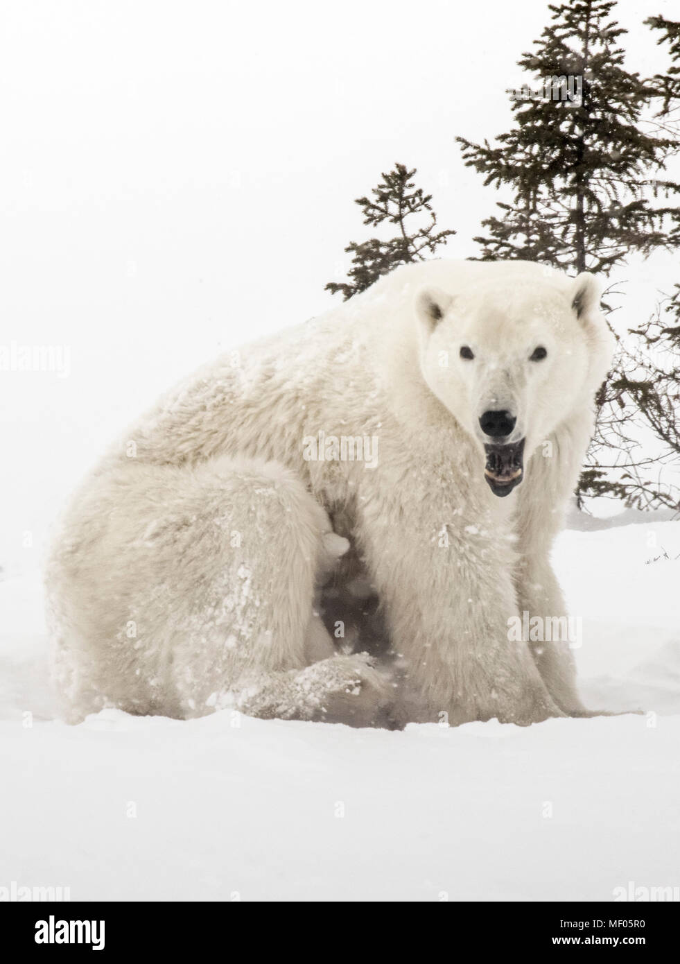 Cubs hide between Mother's legs to keep warm and to nurse.  Polar Bear mothers are very protective and nurturing with their young cubs. - Stock Image