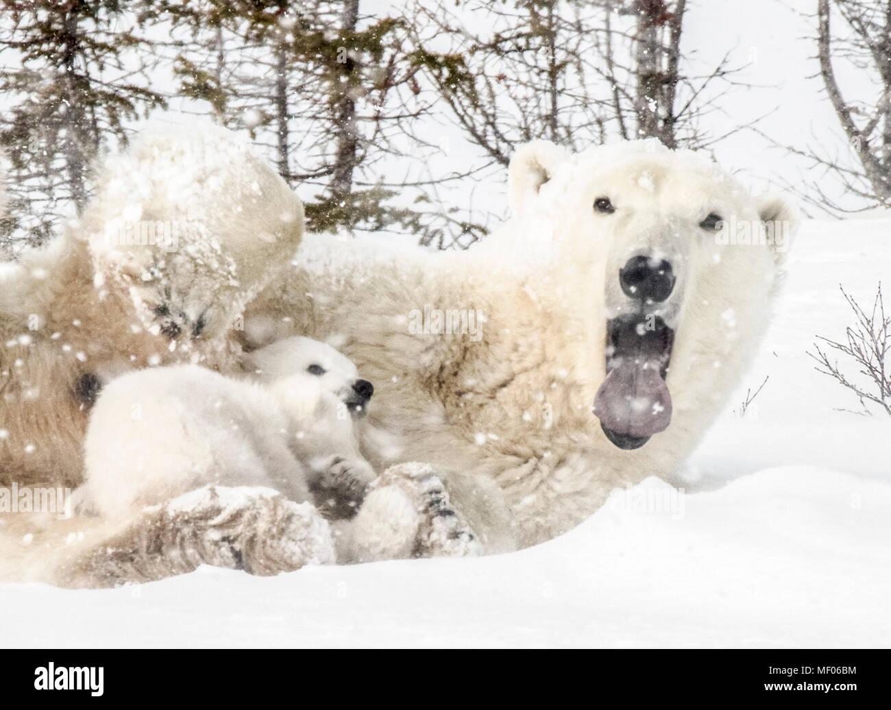 Sleepy polar bear mom cuddles and nurses her cubs. - Stock Image