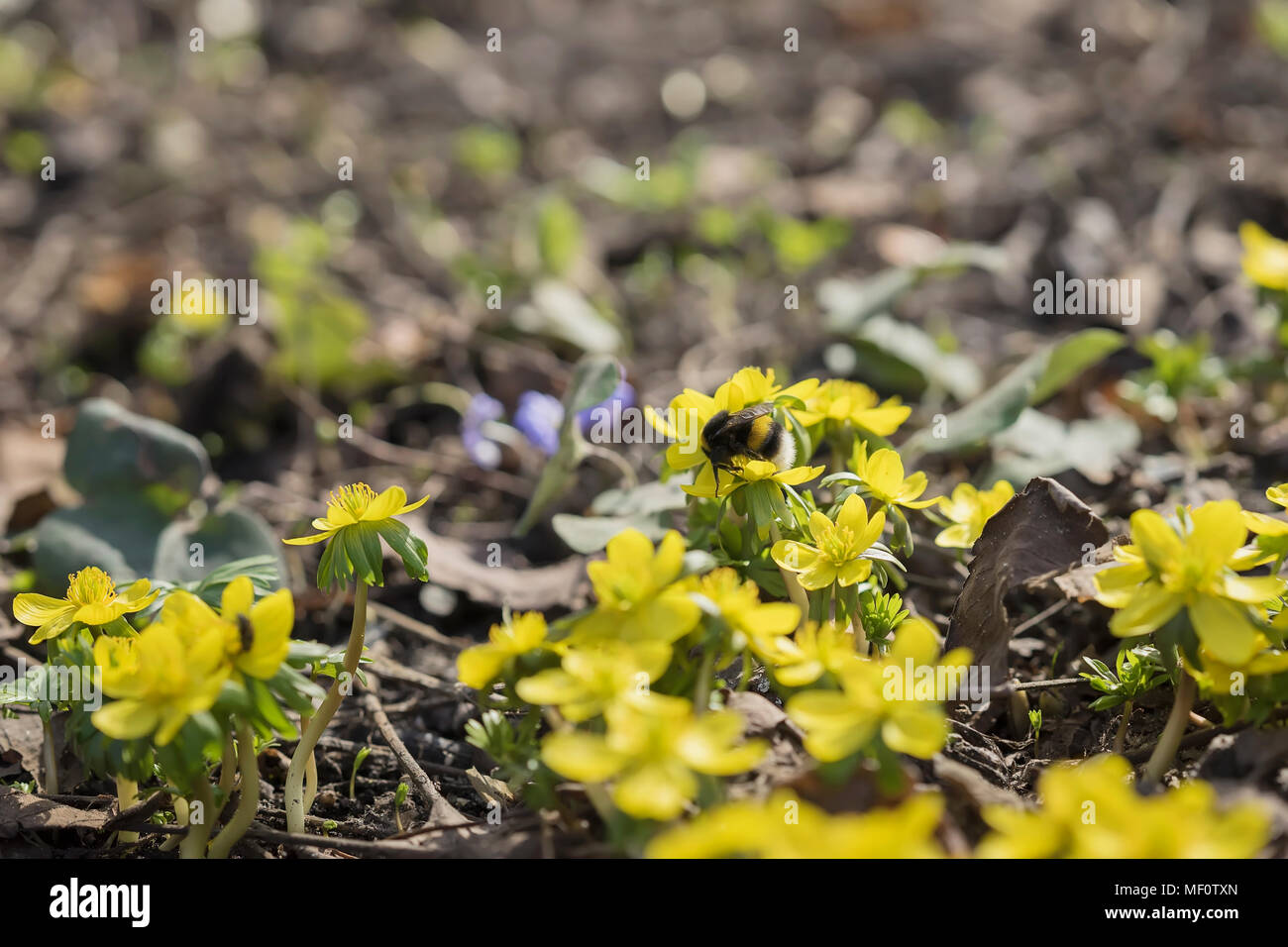 First spring flowers first bees and bumblebees flowering of yellow first spring flowers first bees and bumblebees flowering of yellow eranthis last years foliage selective focus spring background mightylinksfo