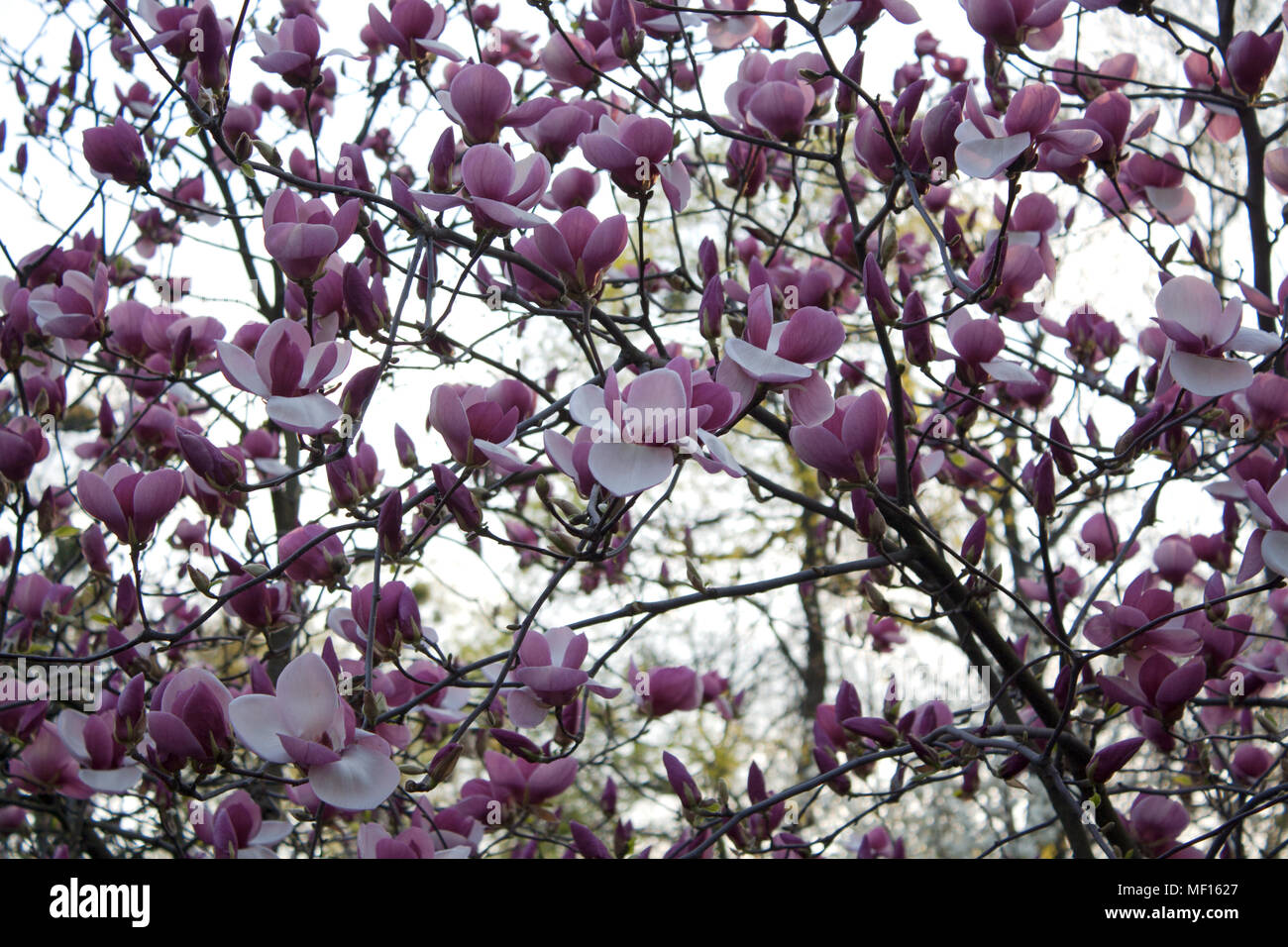 Magnolia Tree Branch In Bloom With Purple And White Flowers Stock