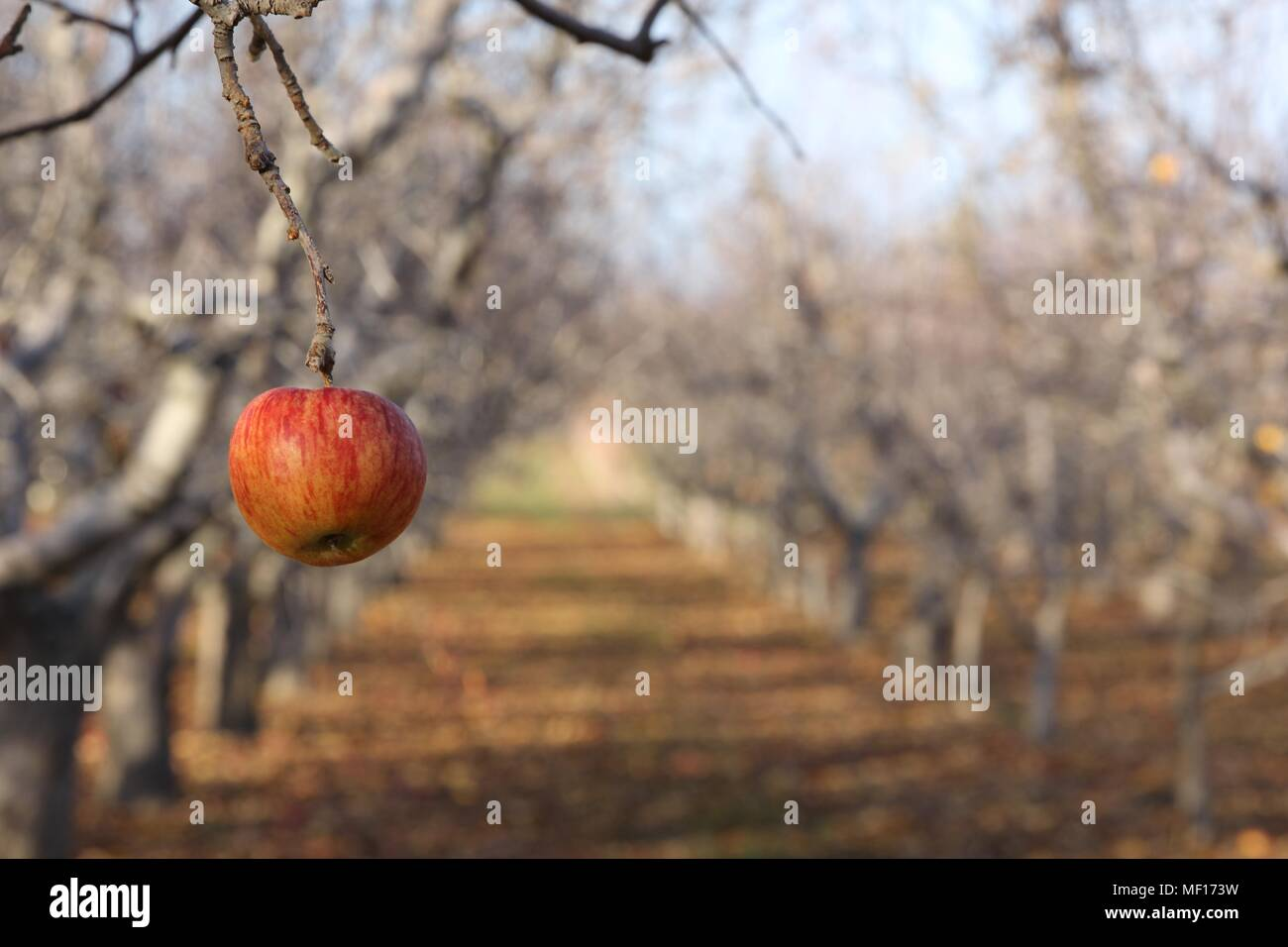 Lonely apple remains hanging in the orchard after all the leaves have fallen from the trees in Yakima, Washington. Stock Photo