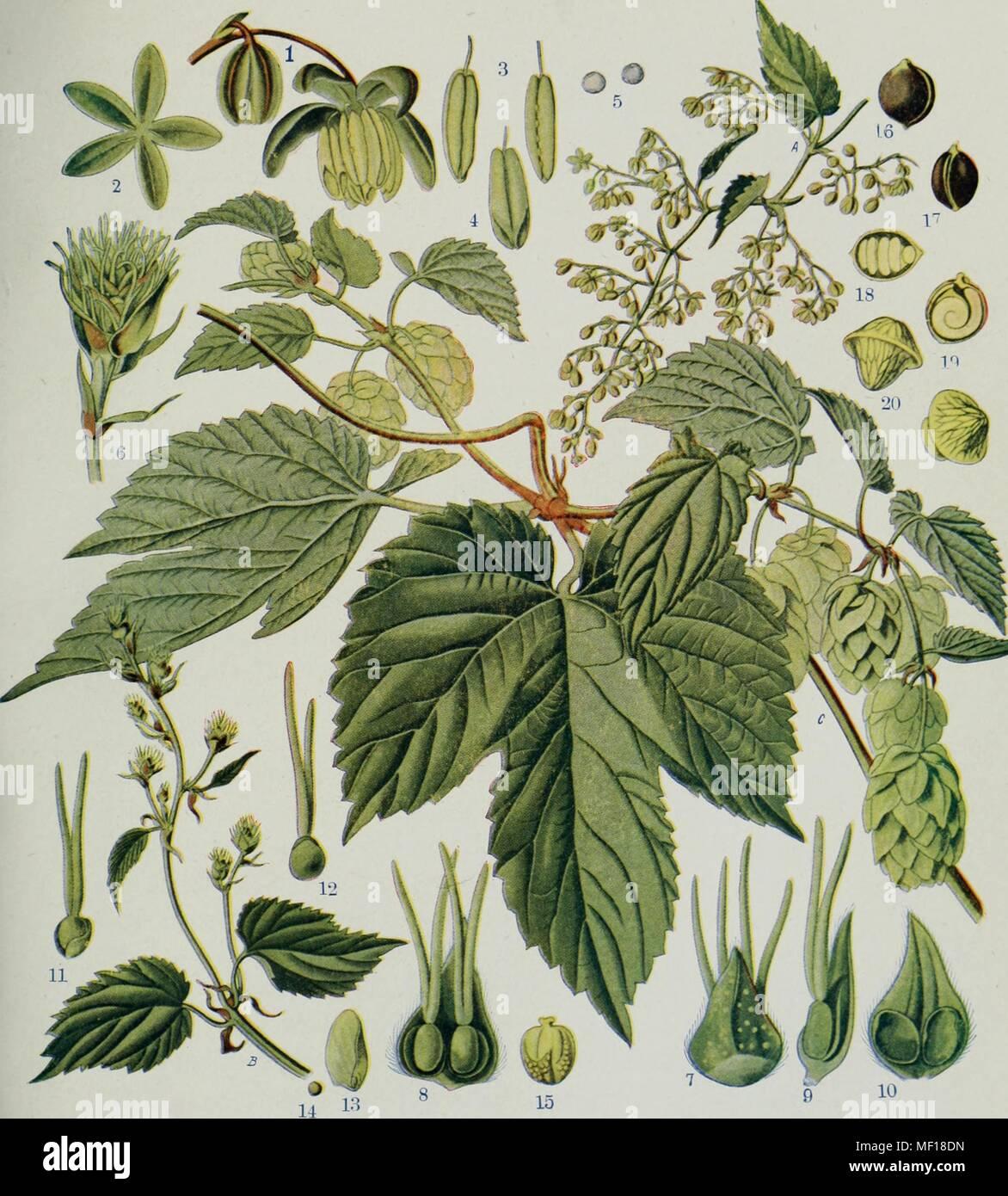 Detailed botanical illustration of a hop plant (Humulus lupulus), 1914. Courtesy Internet Archive. () - Stock Image