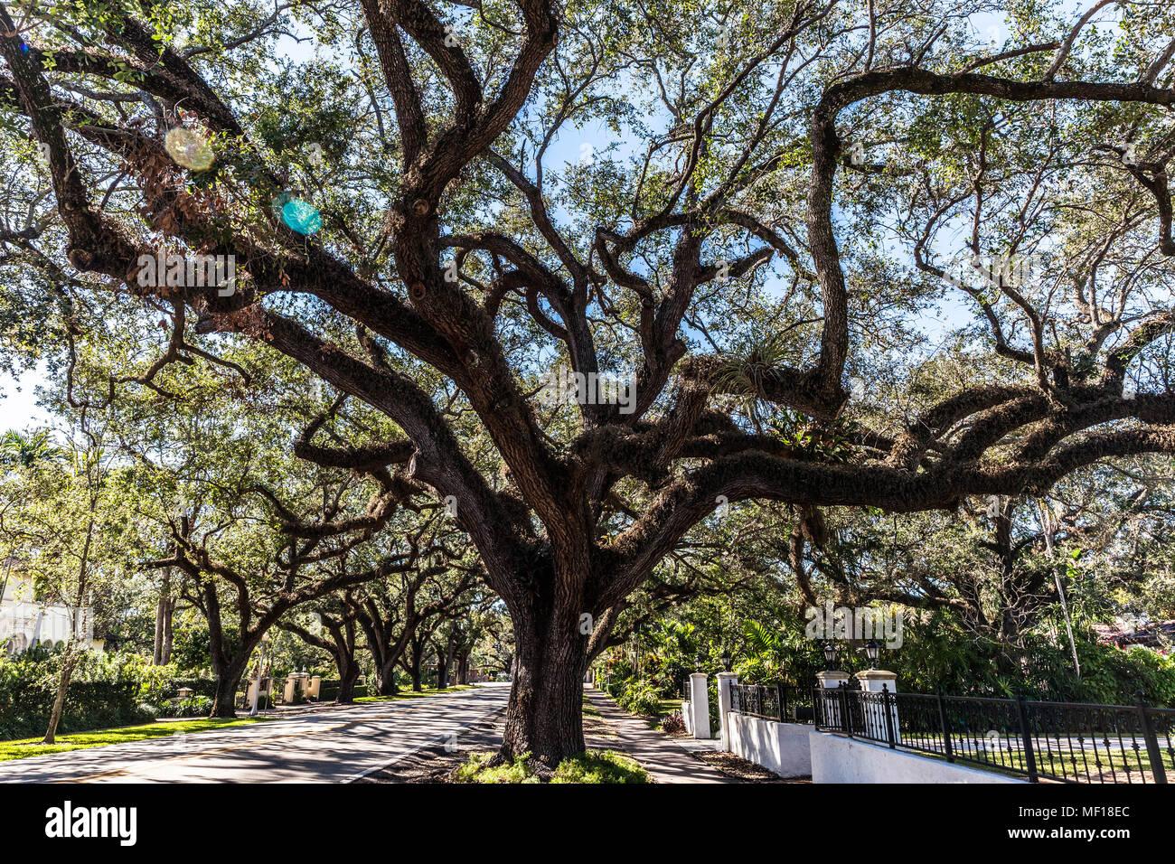 Oak trees along Coral Way, Coral Gable, Miami-Dade County, Florida, USA. Stock Photo
