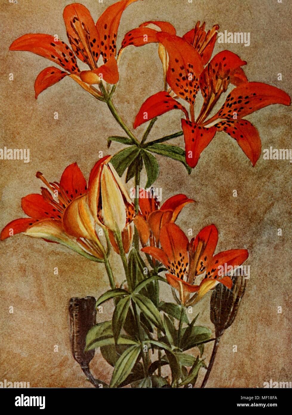 Botanical illustration of a wood, or Philadelphia, lily (Lilium philadelphicum), 1914. Courtesy Internet Archive. () - Stock Image
