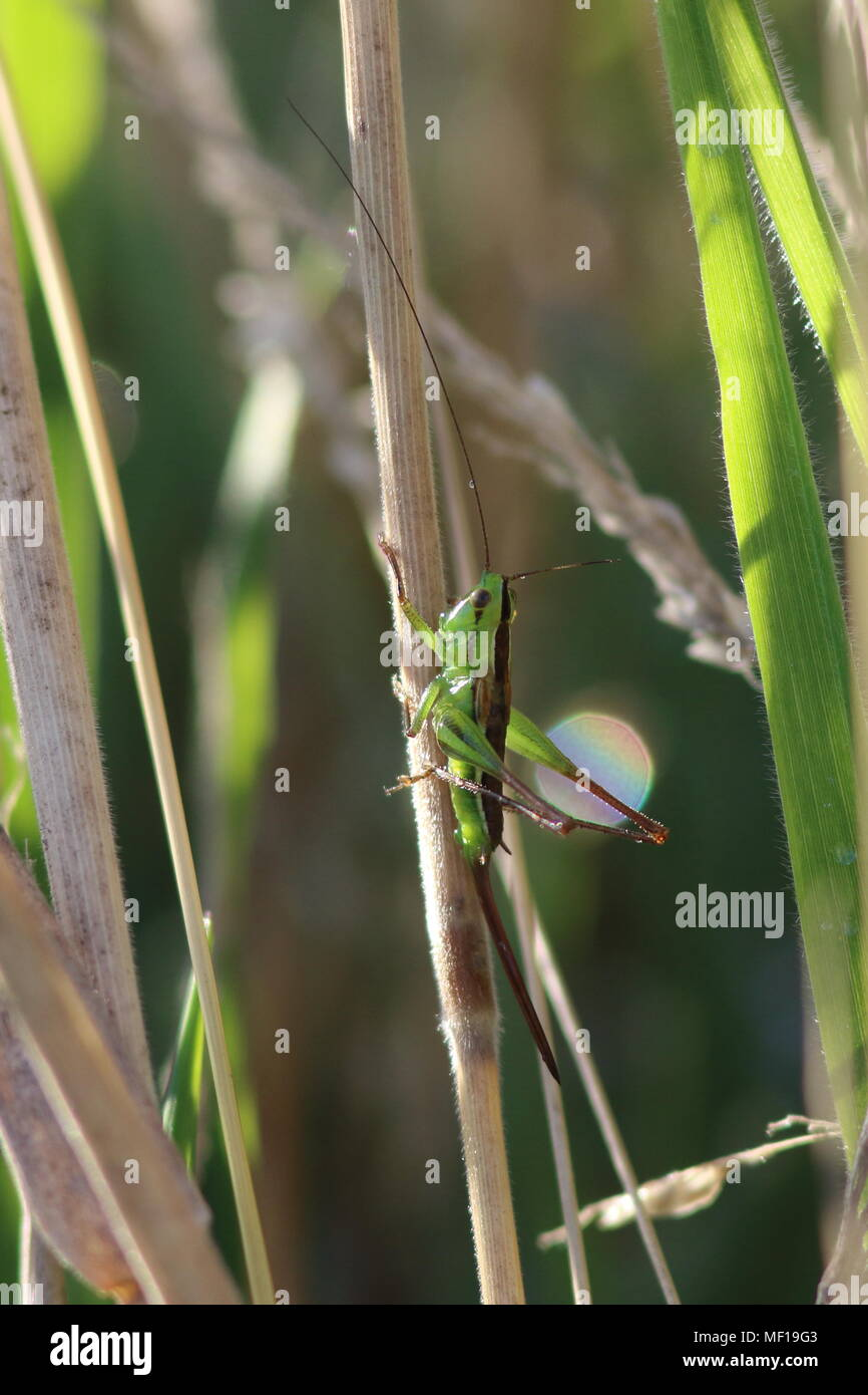 Long horned Grasshopper, Conocephalus upoluensis, this insect is a  katydid, female in grass on the south island in New Zealand note the long oviduct. - Stock Image