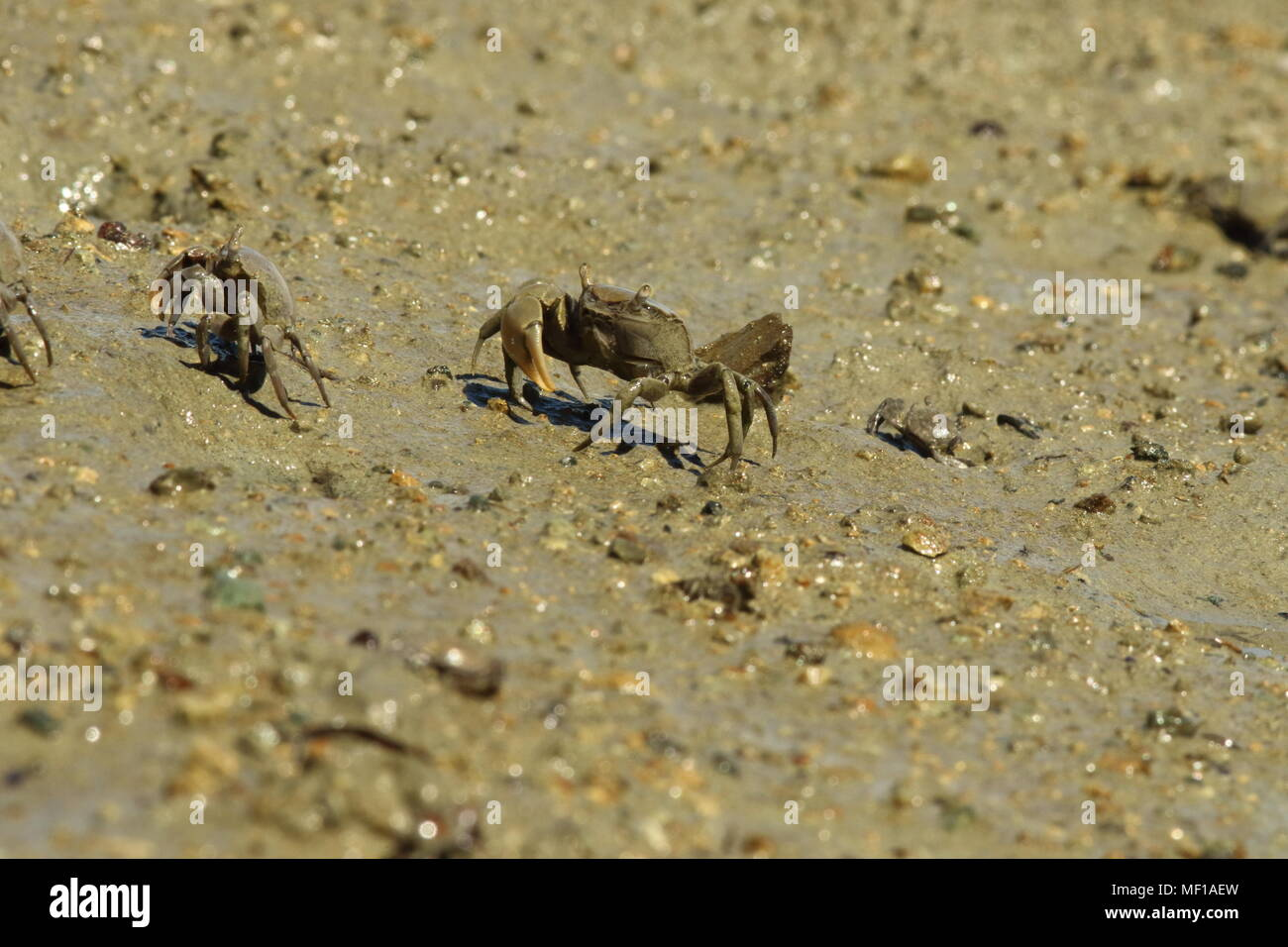 Varunidae Helice, Estuarine Mud Crab, the main crab has lost one off its claws. - Stock Image