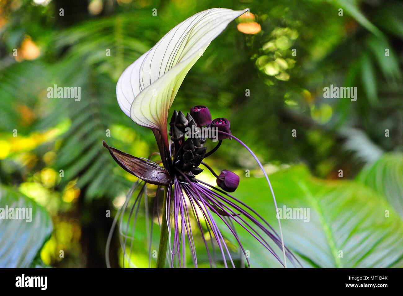 Bat flower tacca integrifolia stock photos bat flower tacca white batflower tacca integrifolia nicknamed cats whiskers exotic white flower mightylinksfo