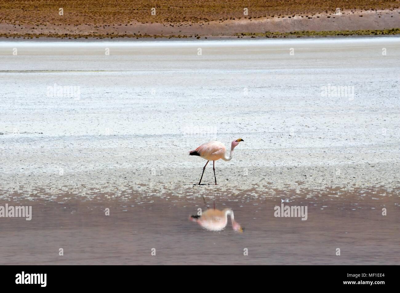 Phoenicoparrus andinus, bolivian flamingo - Stock Image