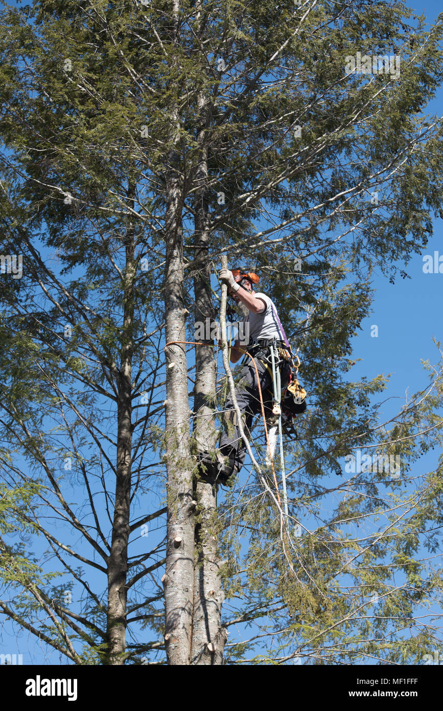 A professional arborist dropping a hemlock tree in sections, using ropes and pulleys to lower the sections to the ground. Stock Photo