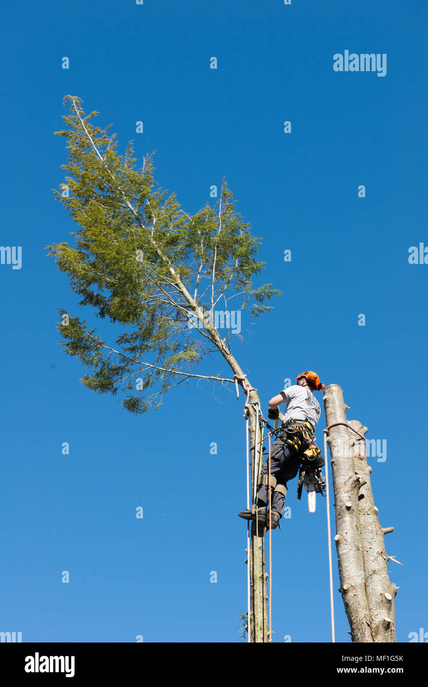 A professional arborist cutting the top off a hemlock tree as part of the process of removing the tree. - Stock Image