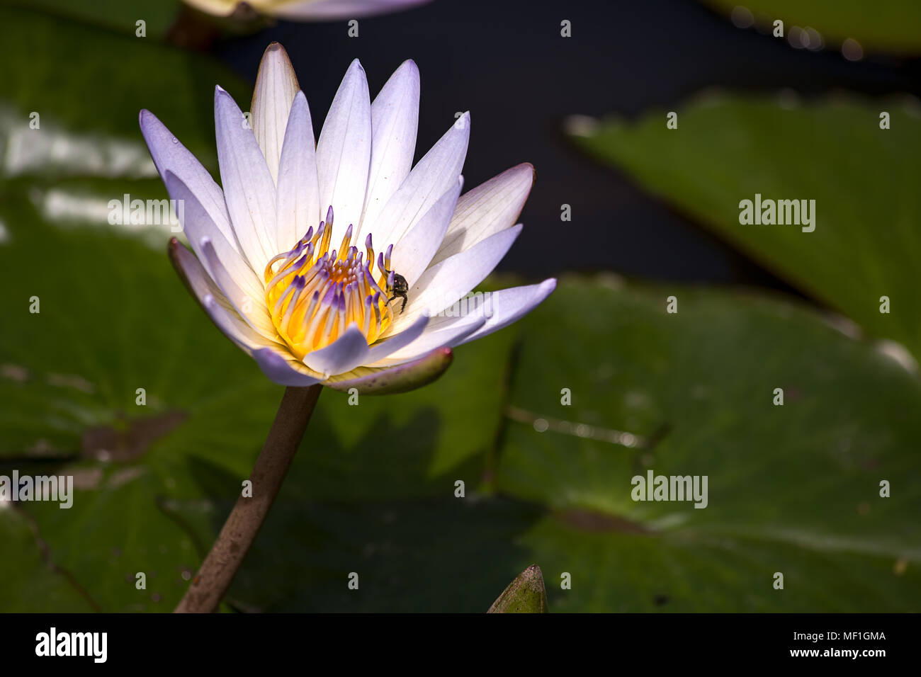 A Bug Search For Food Inside A Lotus Flower Stock Photo 181358586