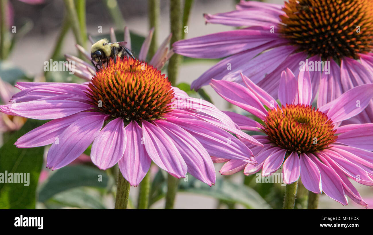 Bee pollinating pink cone flowers - Stock Image