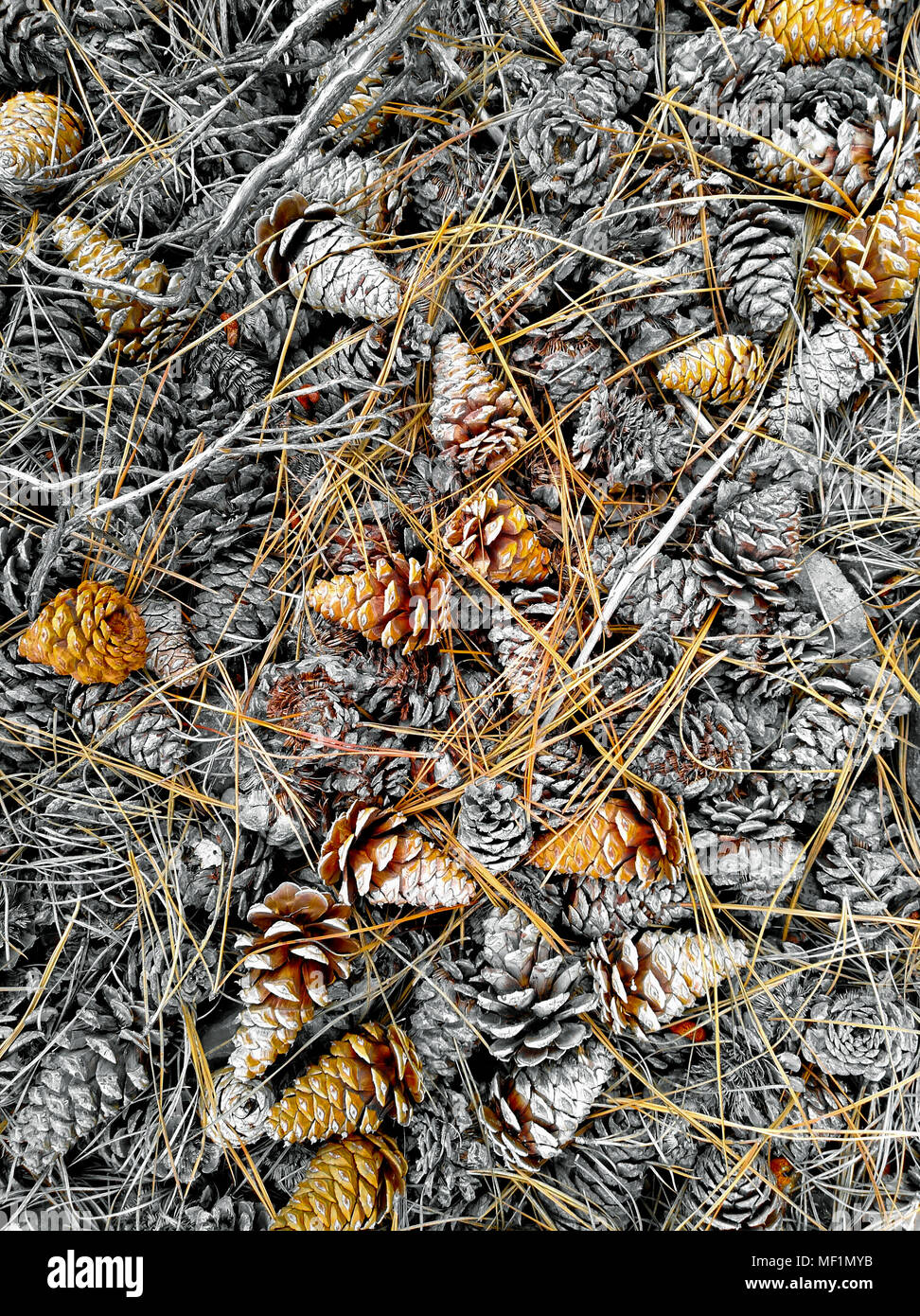 Pine cones and pine needles on the ground in the forest in the Okanagan Valley, British Columbia, Canada. - Stock Image