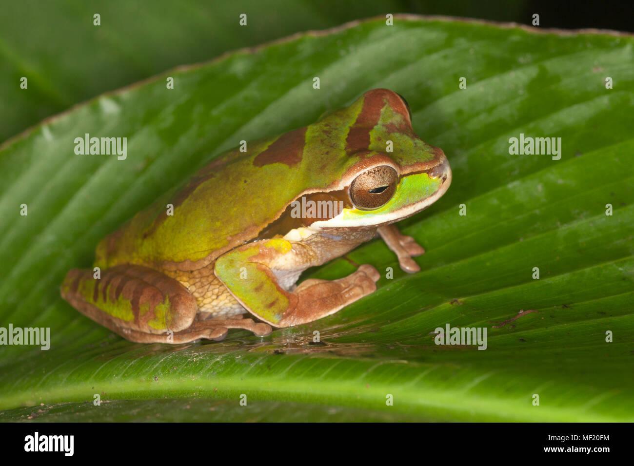 Masked Tree Frog (Smilisca phaeota) - Stock Image