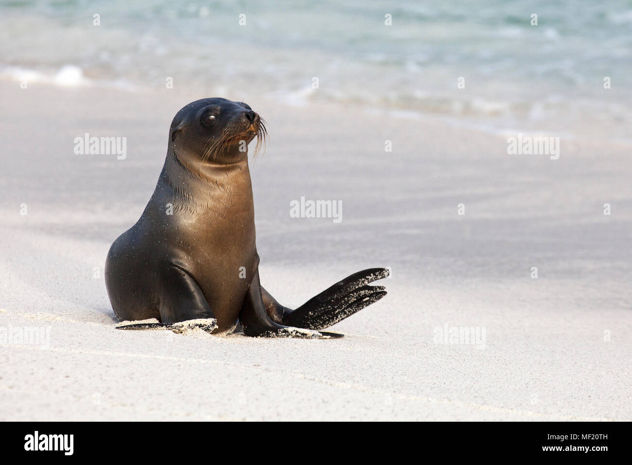 Young Galapagos Sea Lion (Zalophus wollebaeki) playing in shoreline surf - Stock Image