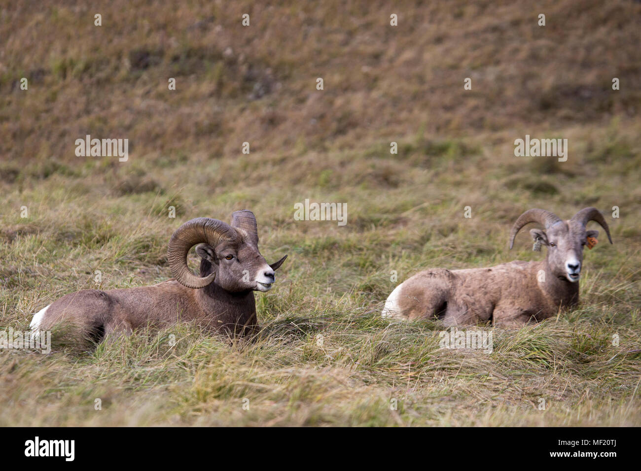 Rocky Mountain Bighorn sheep (Ovis canadensis canadensis) ram and ewe in Sheep River Wildlife Sanctuary - Stock Image