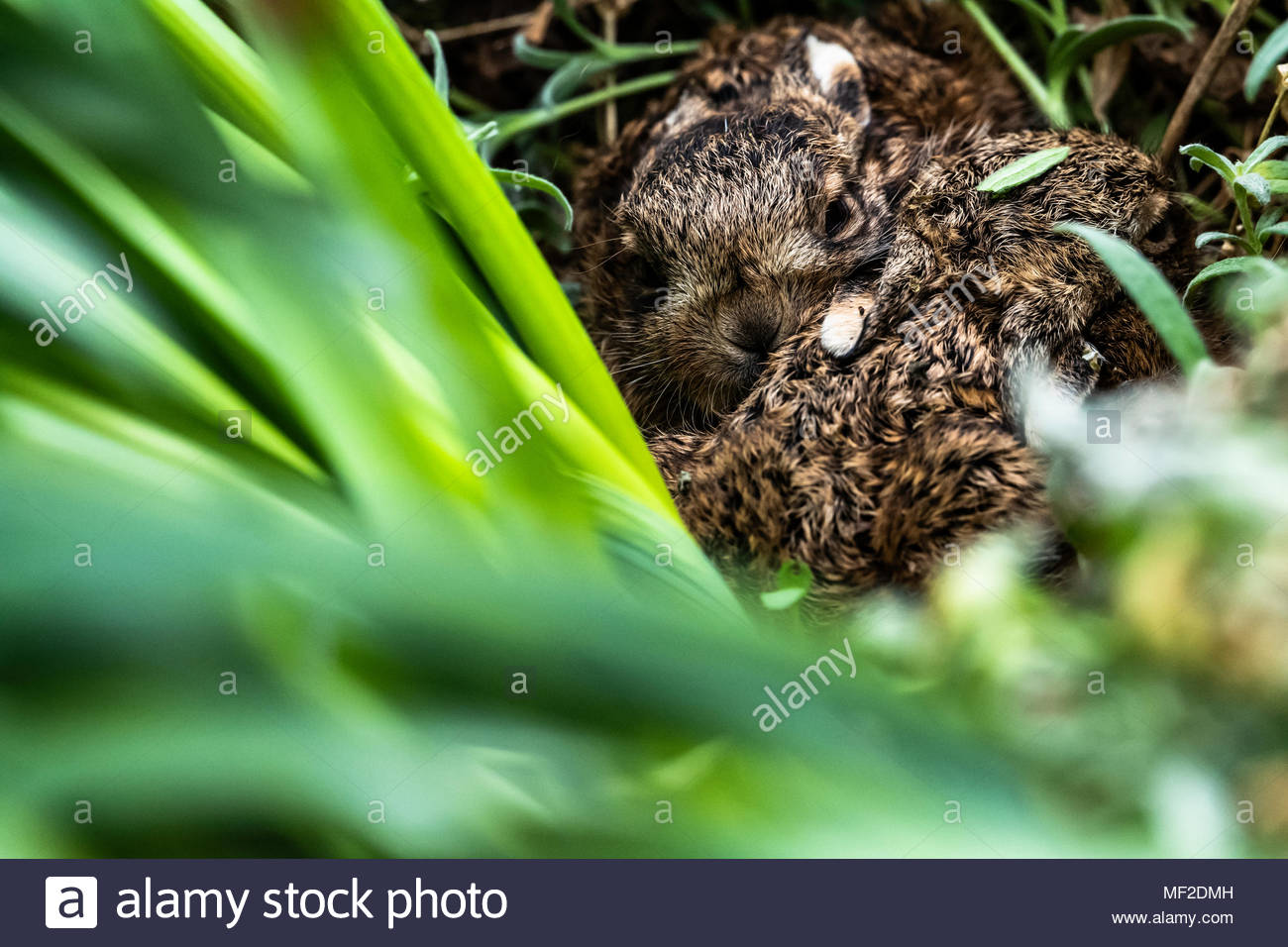Oxnam, Jedburgh, Scottish Borders, UK. 24th April 2018. A pair of Leverets in a flower bed discovered by a gardener while weeding. Hares will leave their offspring in secluded forms and feed them a couple of times a day, spreading the larger litters about to avoid predation. Chris Strickland / Alamy Live News - Stock Image