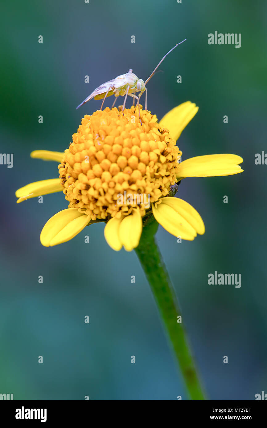Macrophotography of a capsid bug feeding on a yellow wild flower. - Stock Image