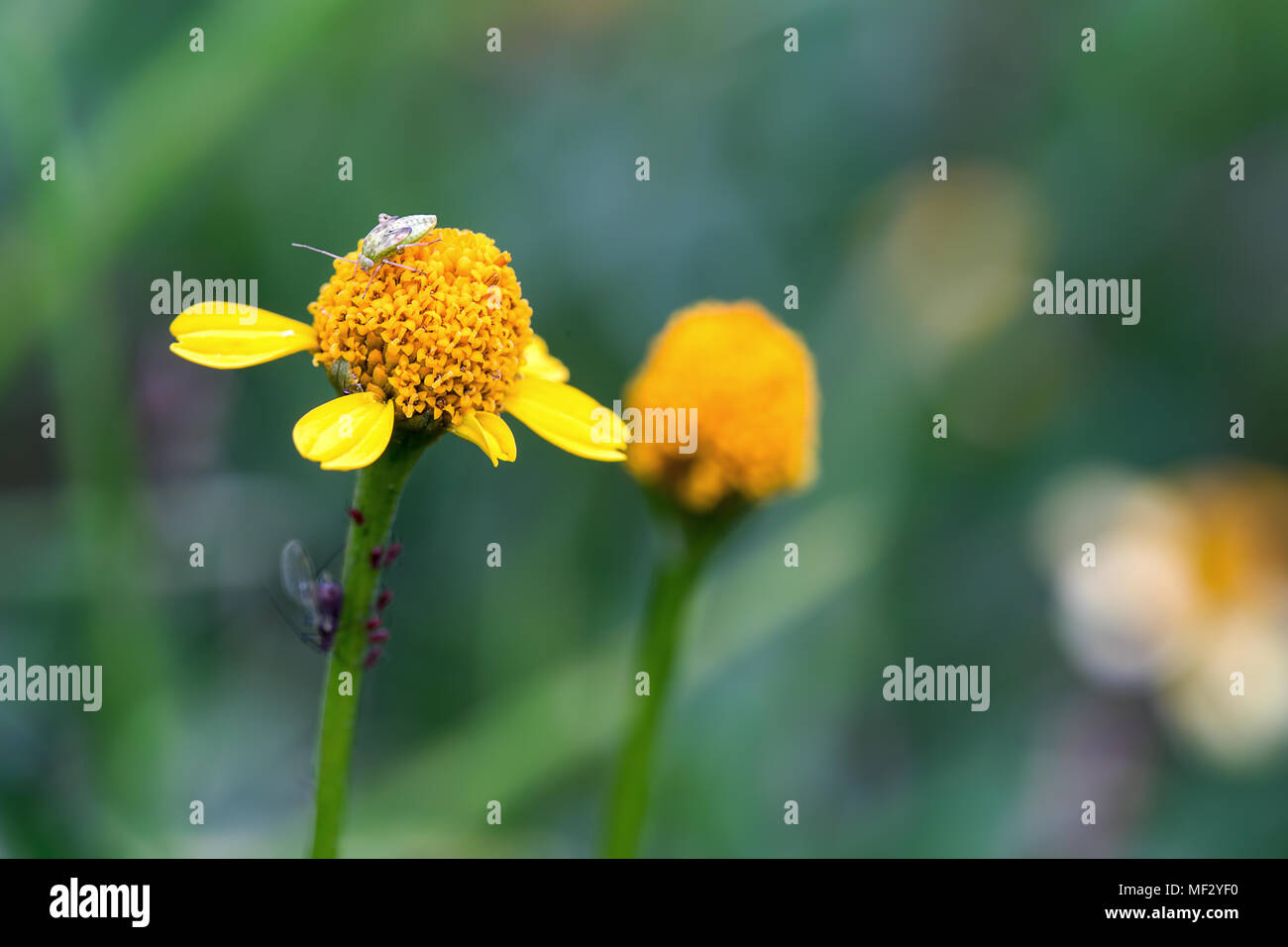 Macrophotography of a capsid bug on a tiny yellow flower. - Stock Image