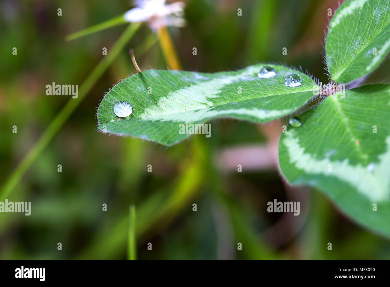 Macrophotography of some dew drops over a clover leaf early in the morning. Stock Photo