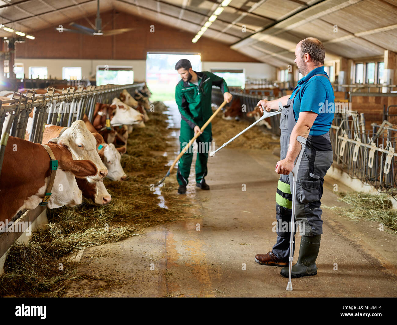 Farmer on crutches guiding man feeding cows in stable on a farm - Stock Image